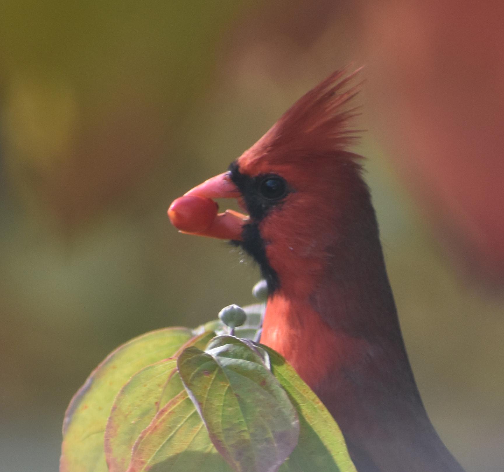 Northern Cardinal eating Flowering Dogwood Berry
