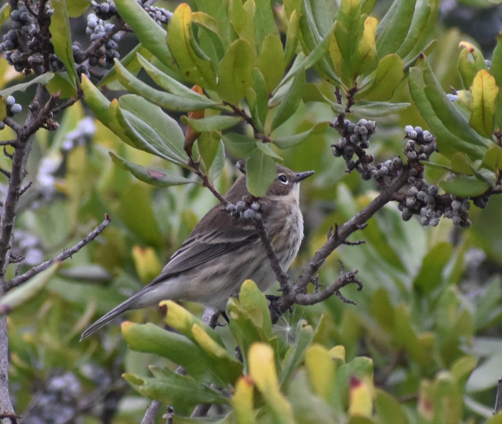 Yellow-Rumped Warbler eating Northern Bayberry