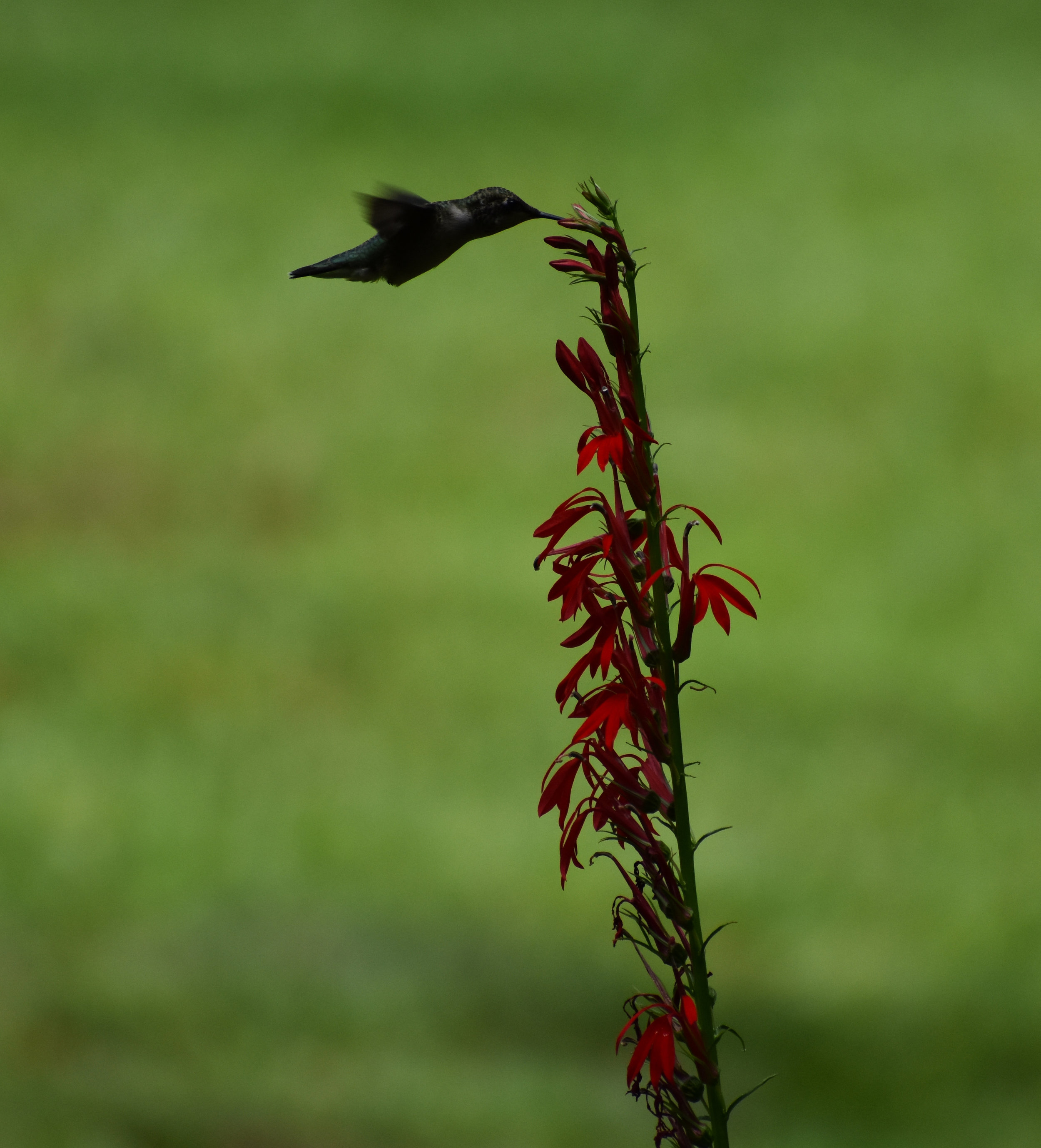Ruby-Throated Hummingbird extracting nectar from Cardinal Flower
