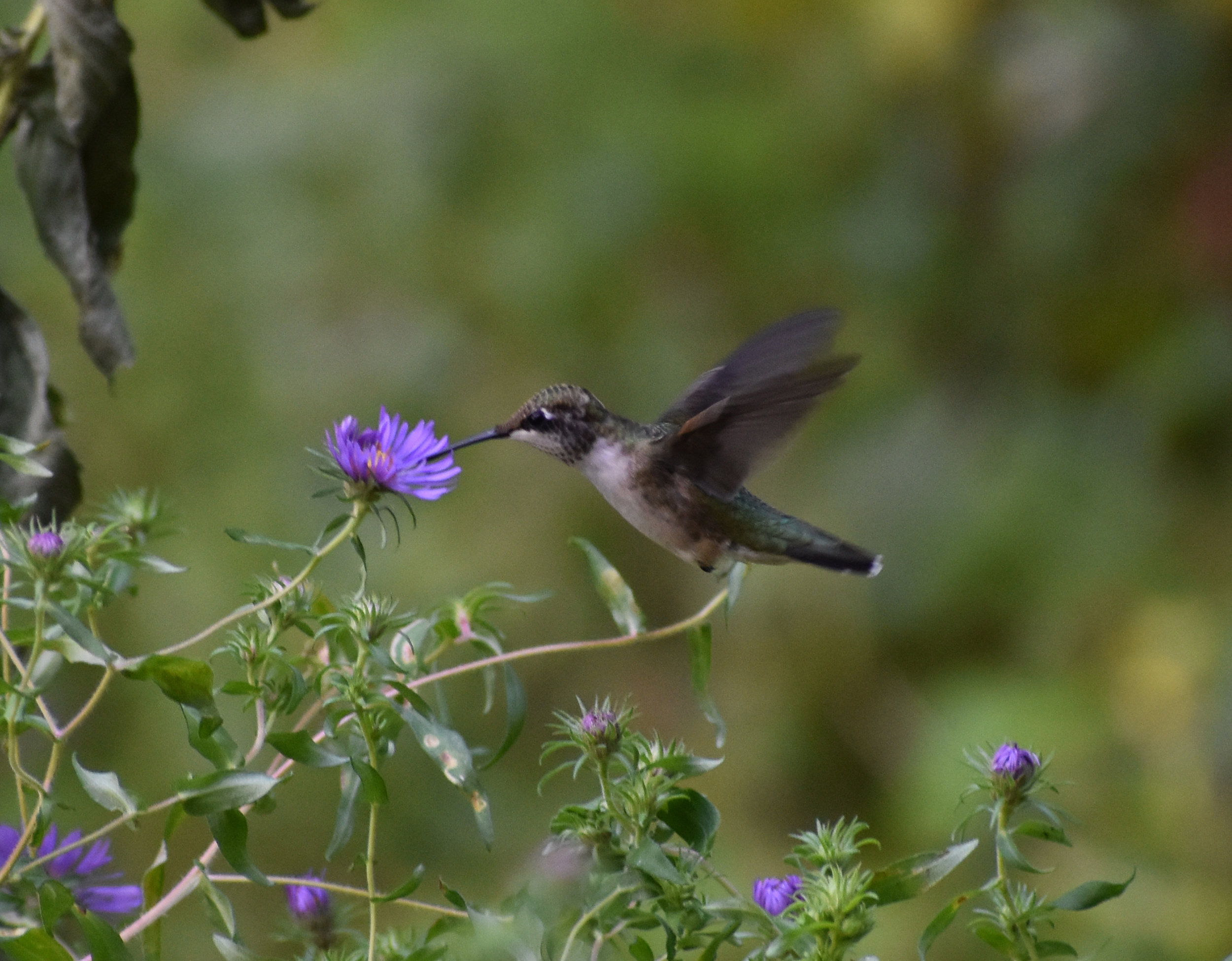 Ruby-Throated Hummingbird extracting nectar from New England Aster