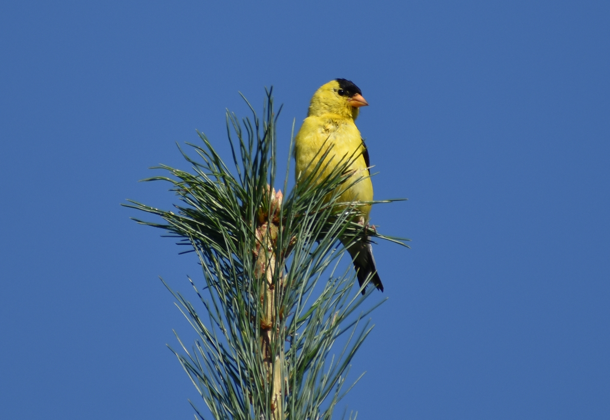 How to Attract American Goldfinch