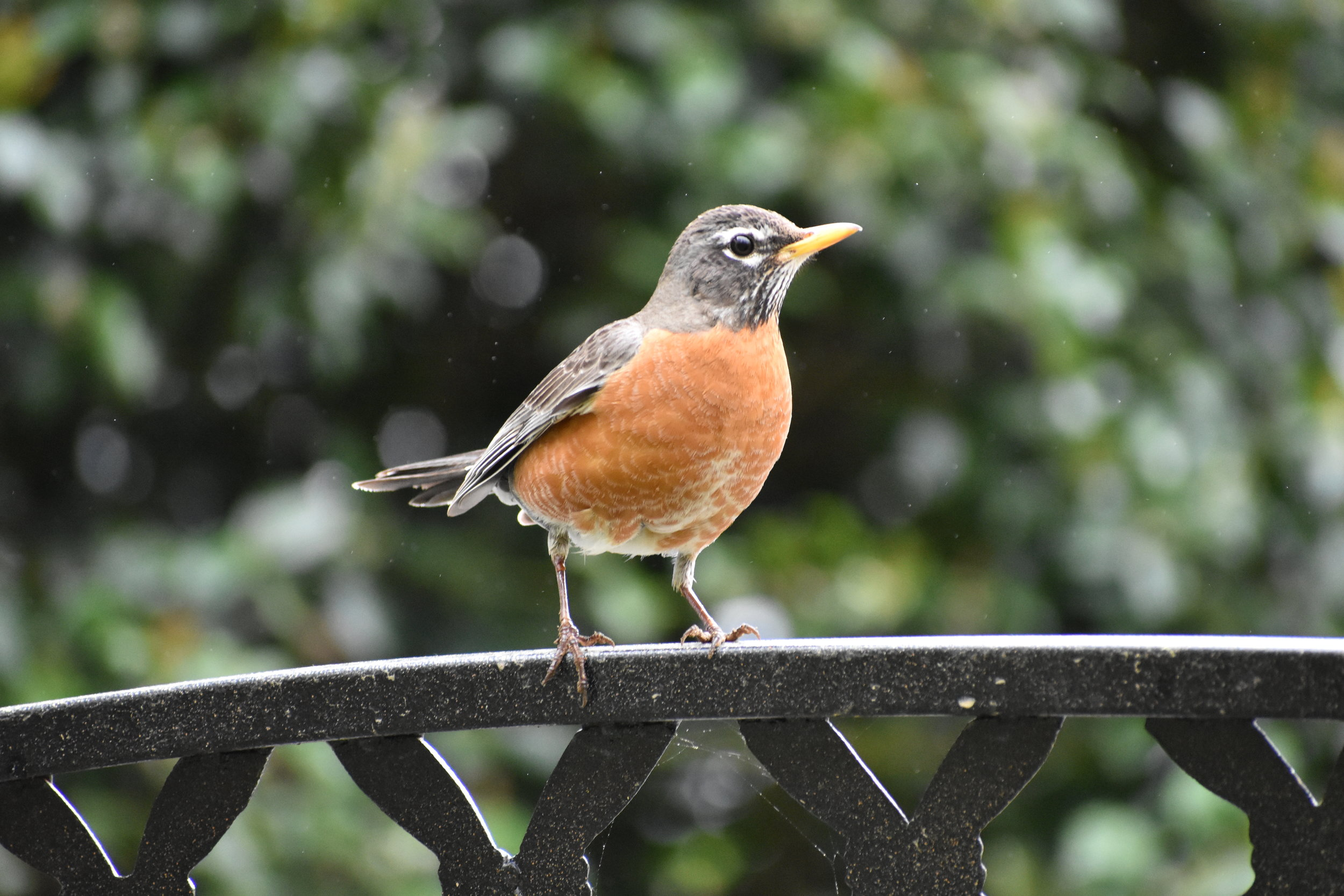 How to Attract American Robin