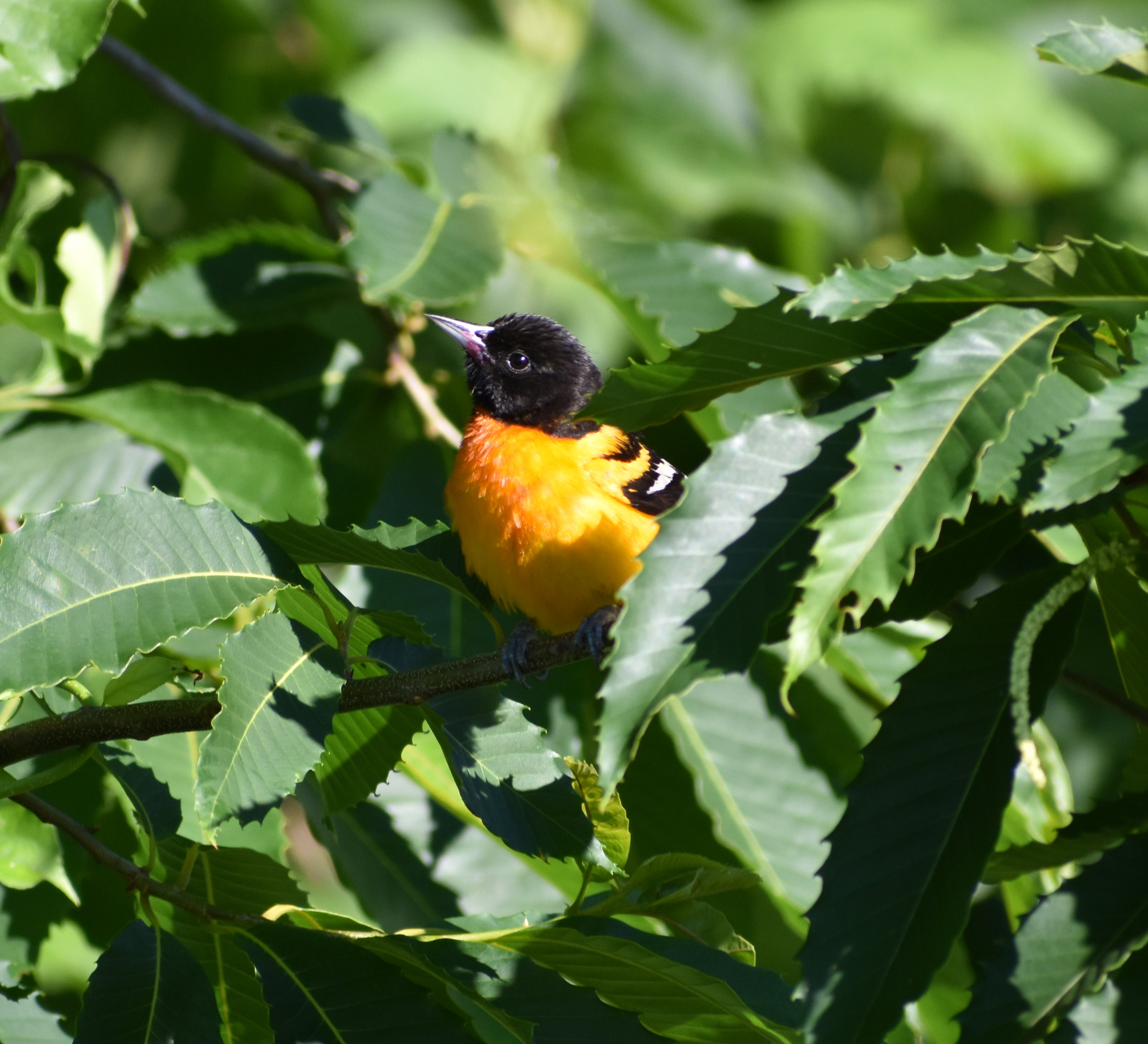 How to Attract Baltimore Oriole