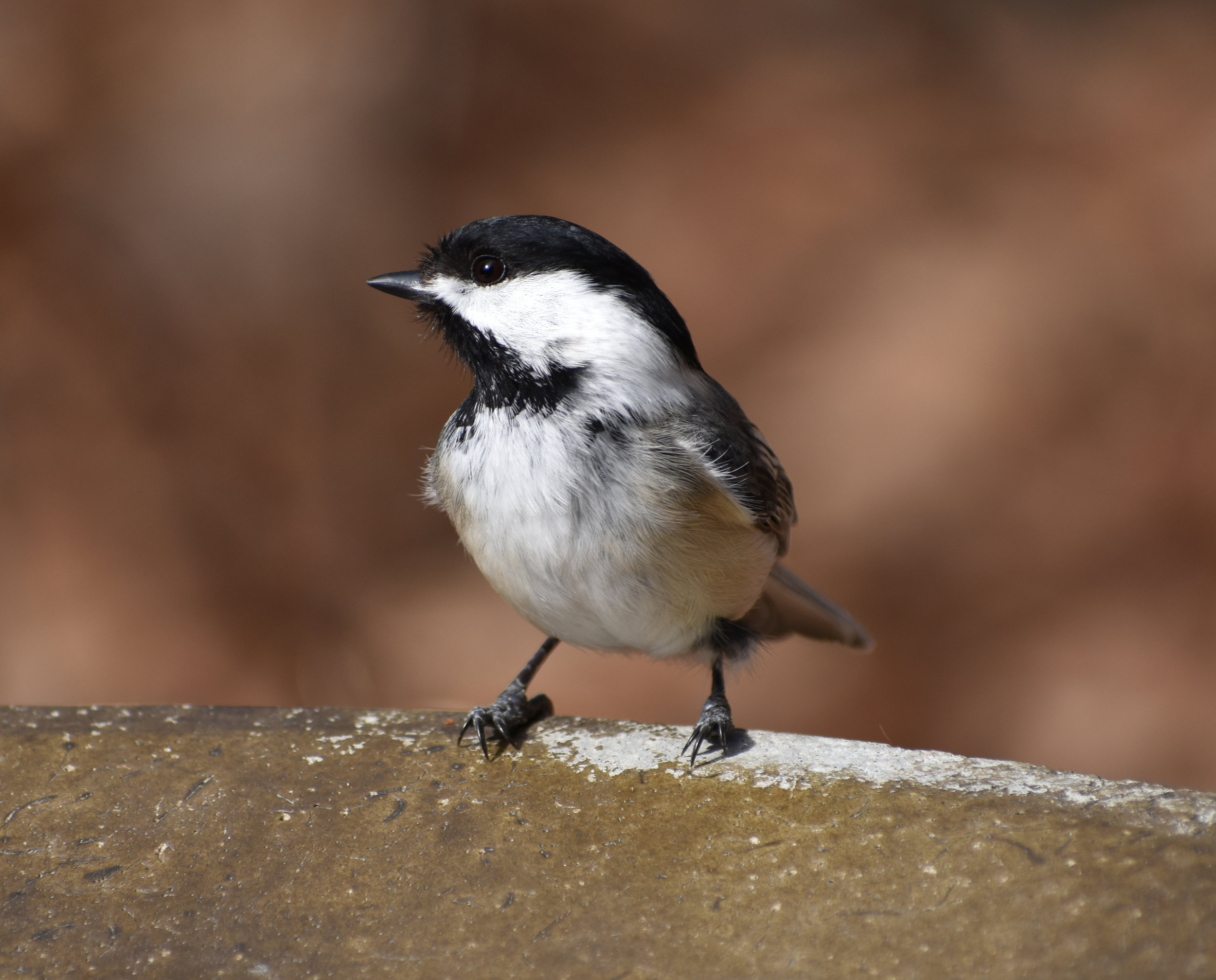 How to Attract Black-Capped Chickadee