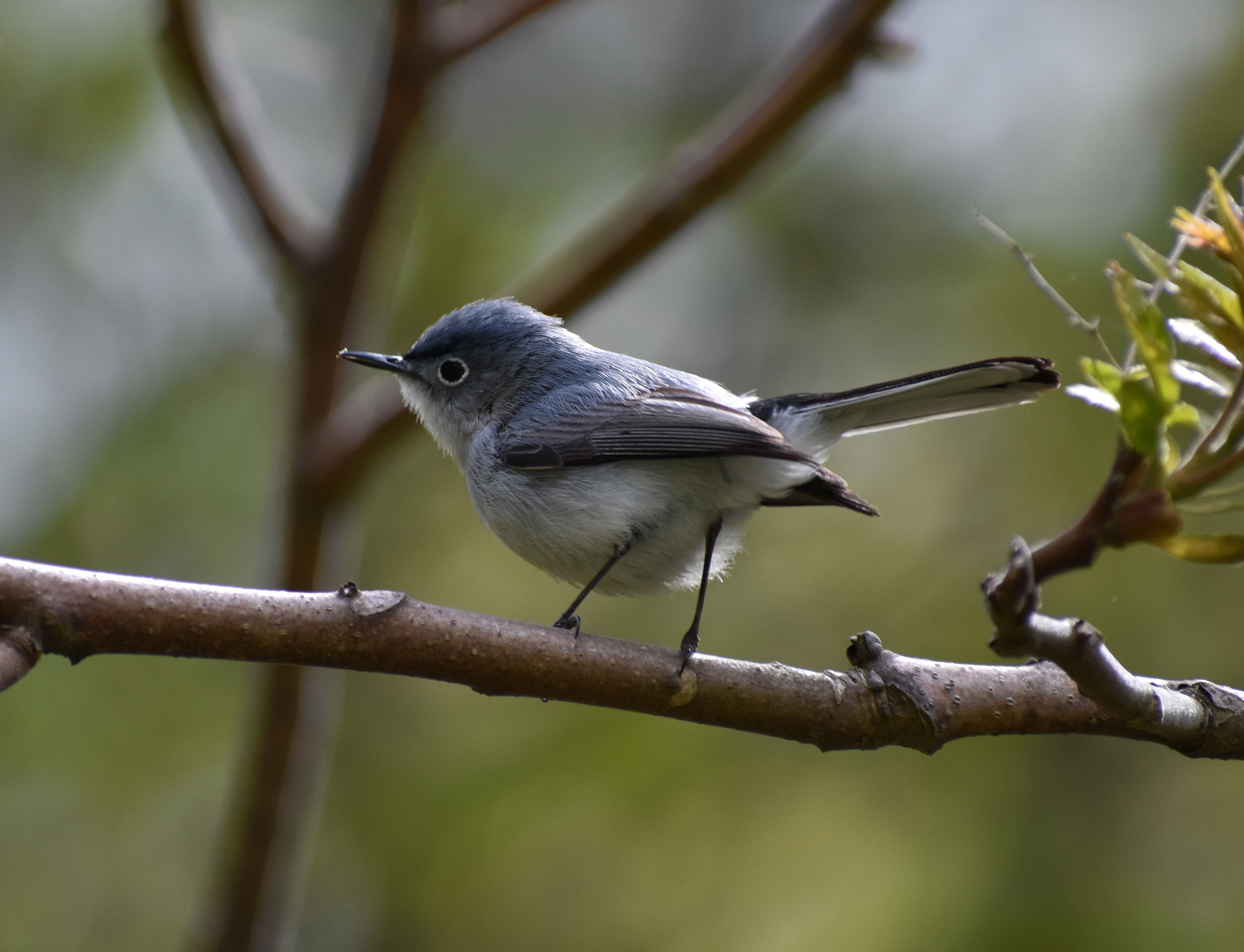 How to Attract Blue-Gray Gnatcatcher