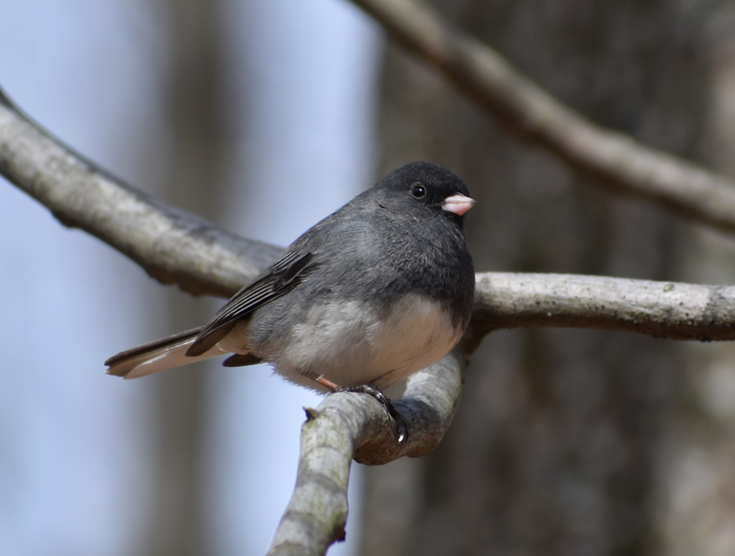 How to Attract Dark-Eyed Junco