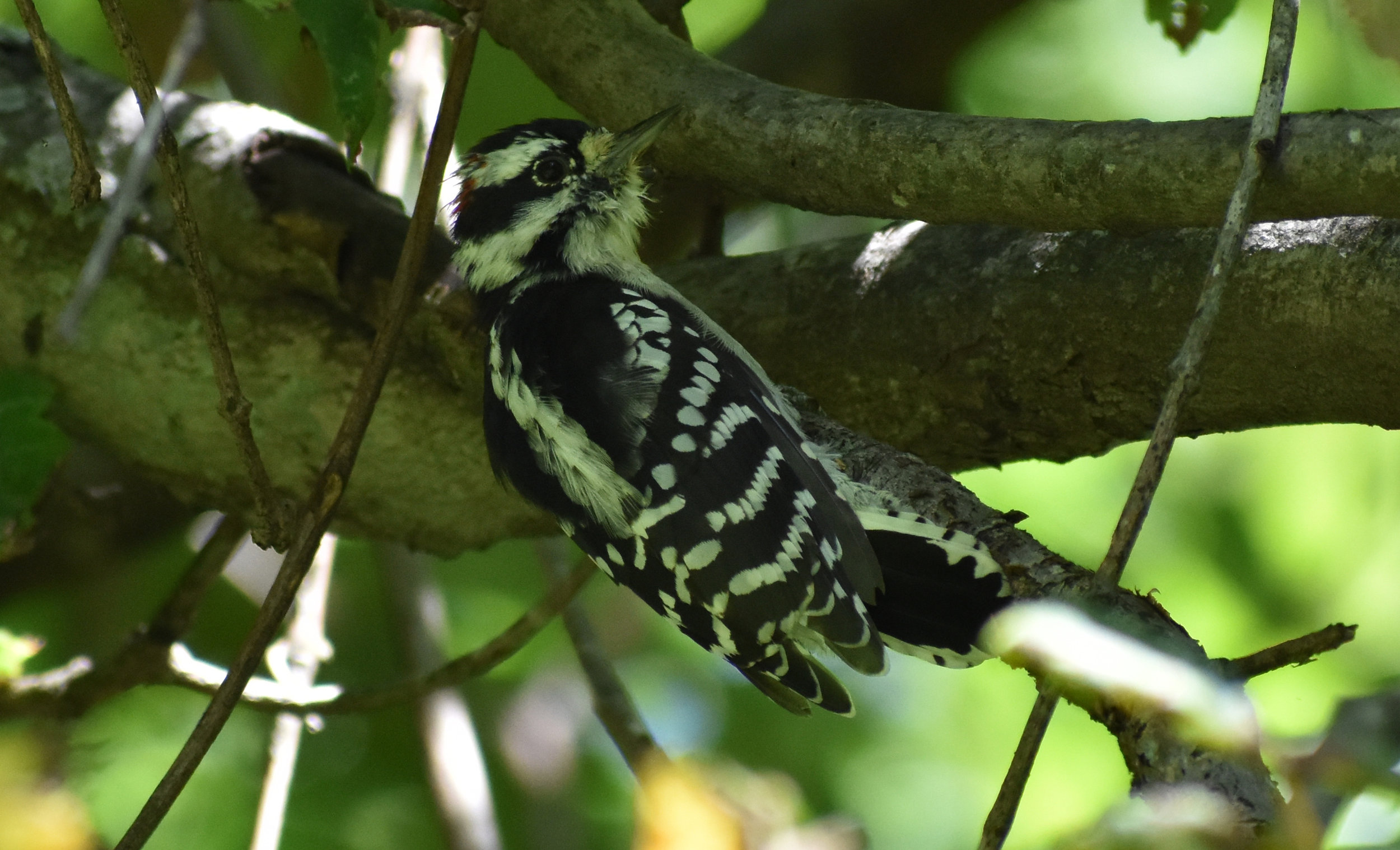 How to Attract Downy Woodpecker