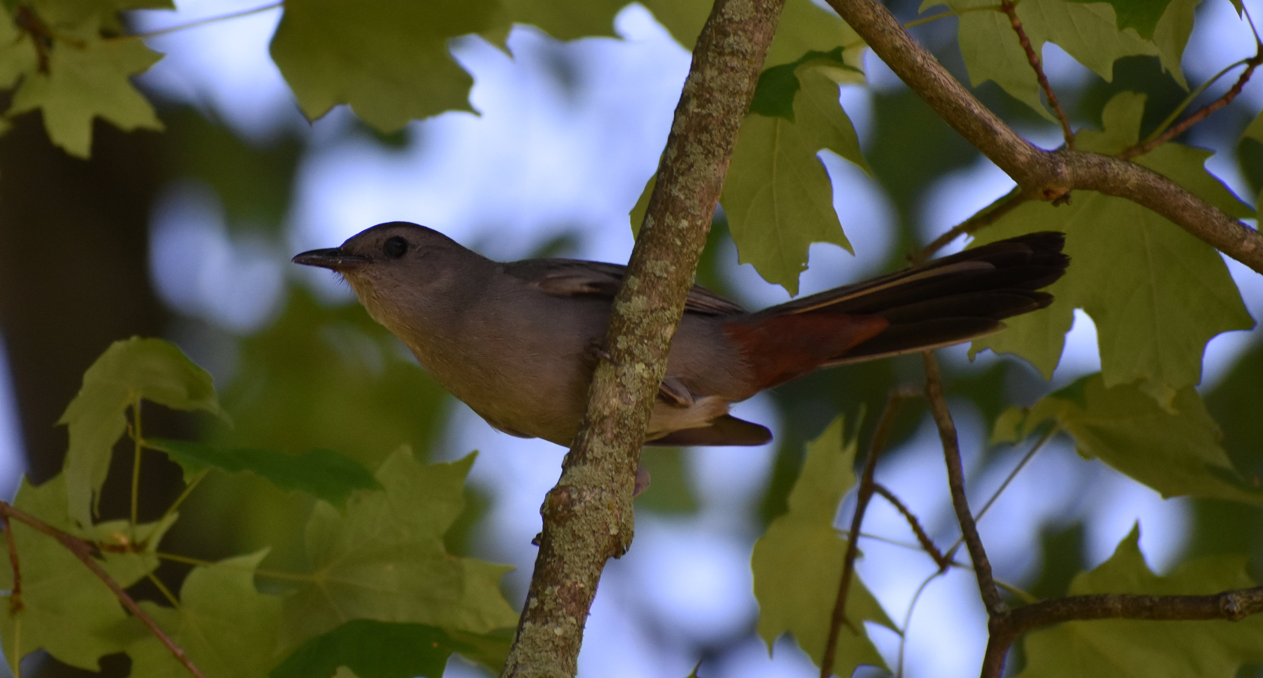 How to Attract Gray Catbird