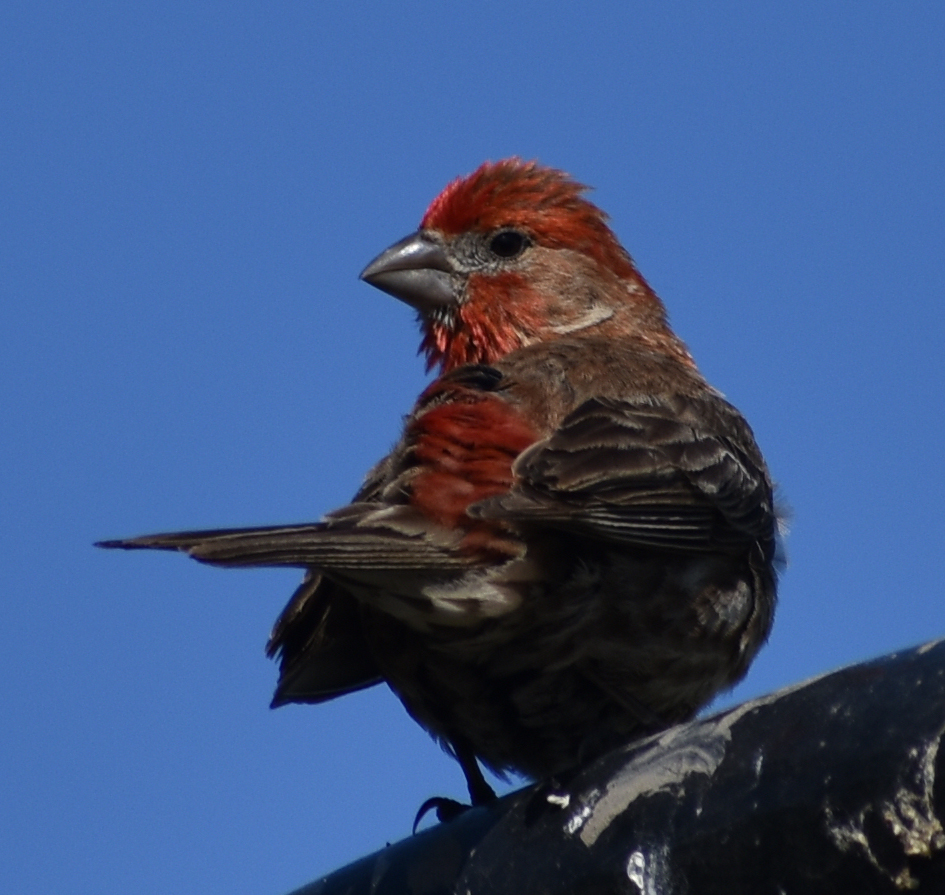How to Attract House Finch