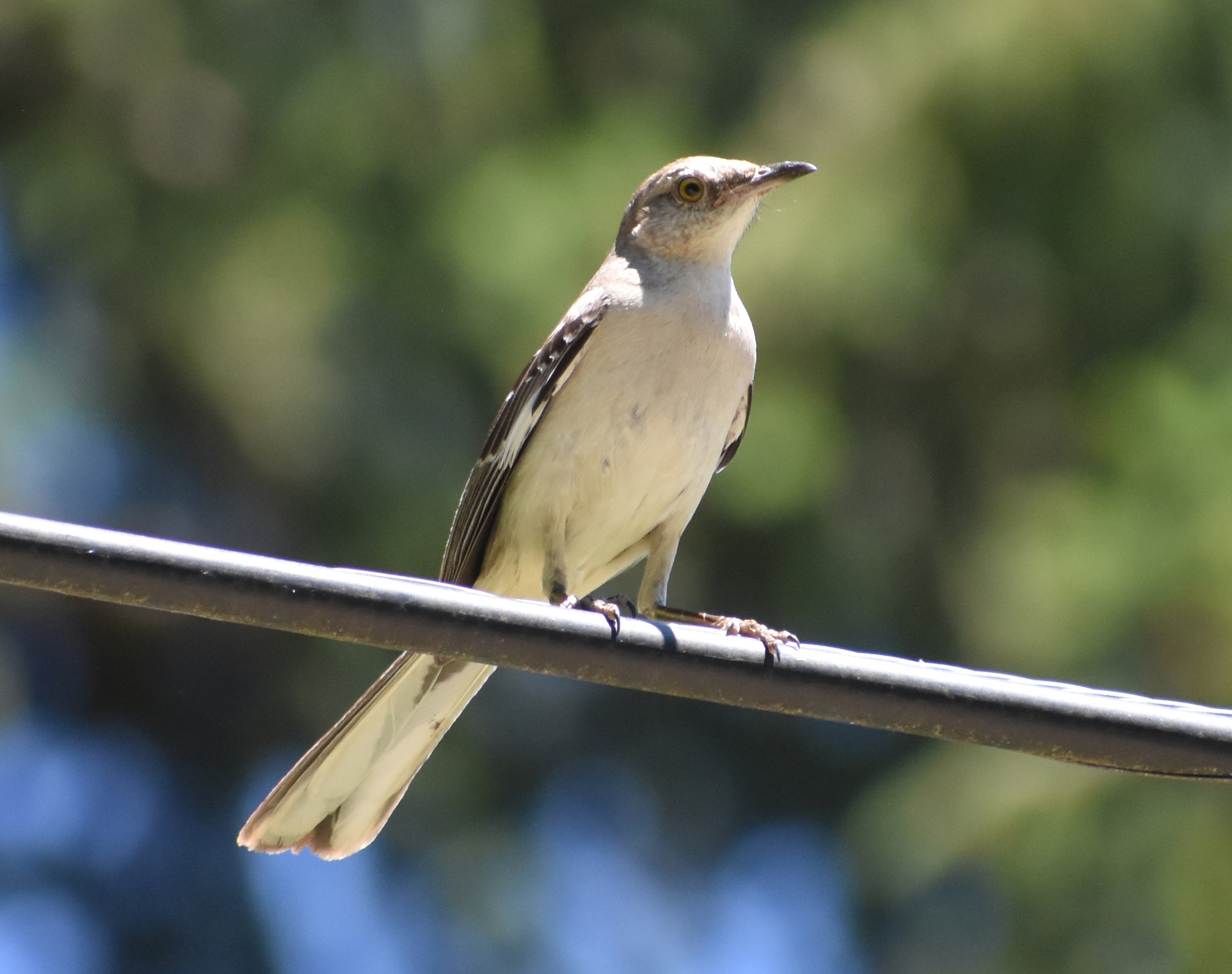 How to Attract Northern Mockingbird