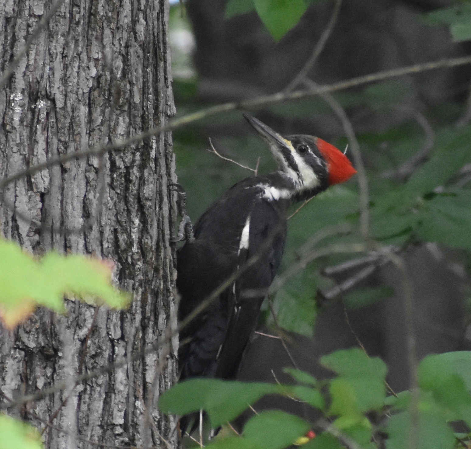 How to Attract Pileated Woodpecker