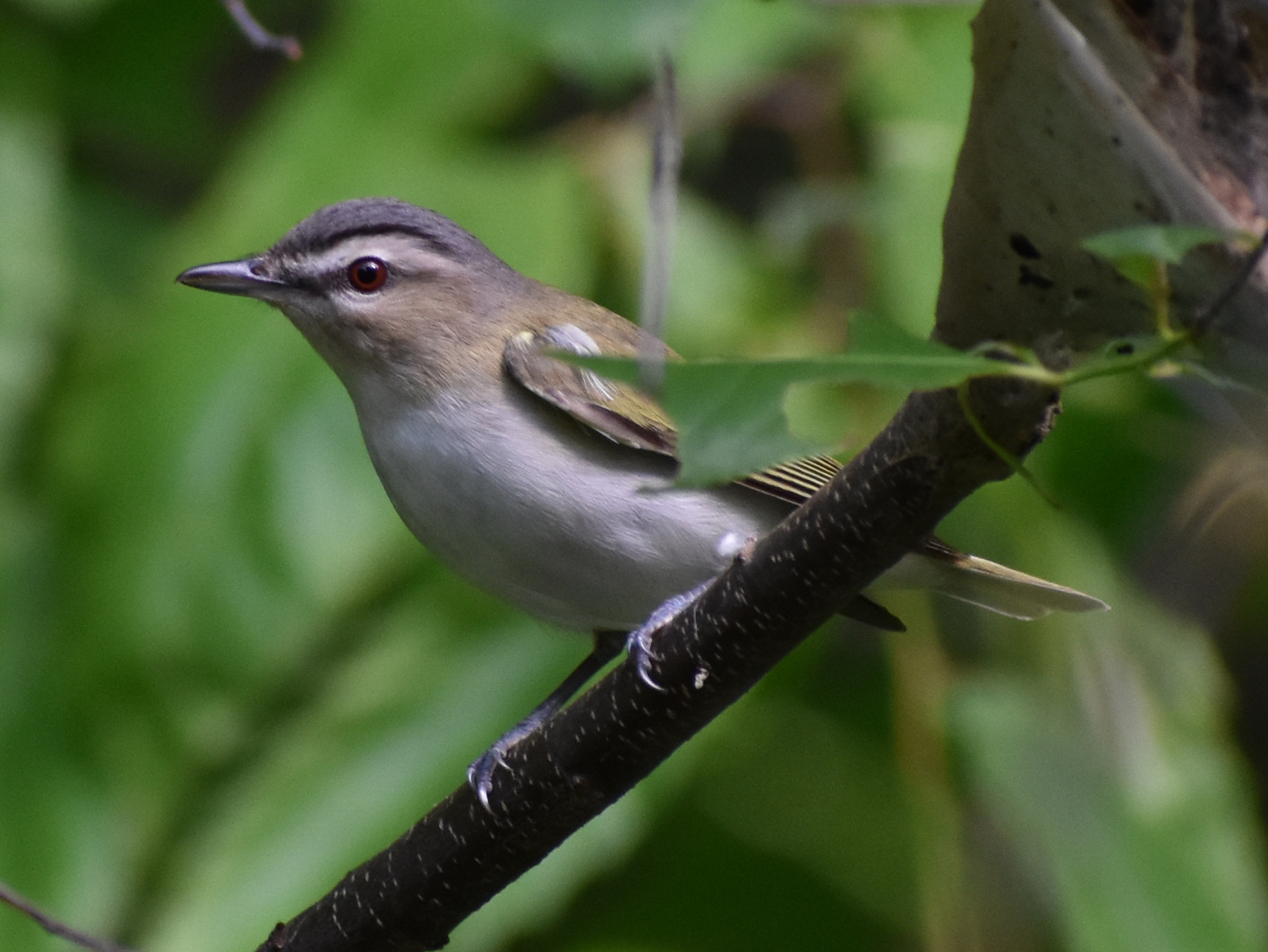 How to Attracted Red-Eyed Vireo
