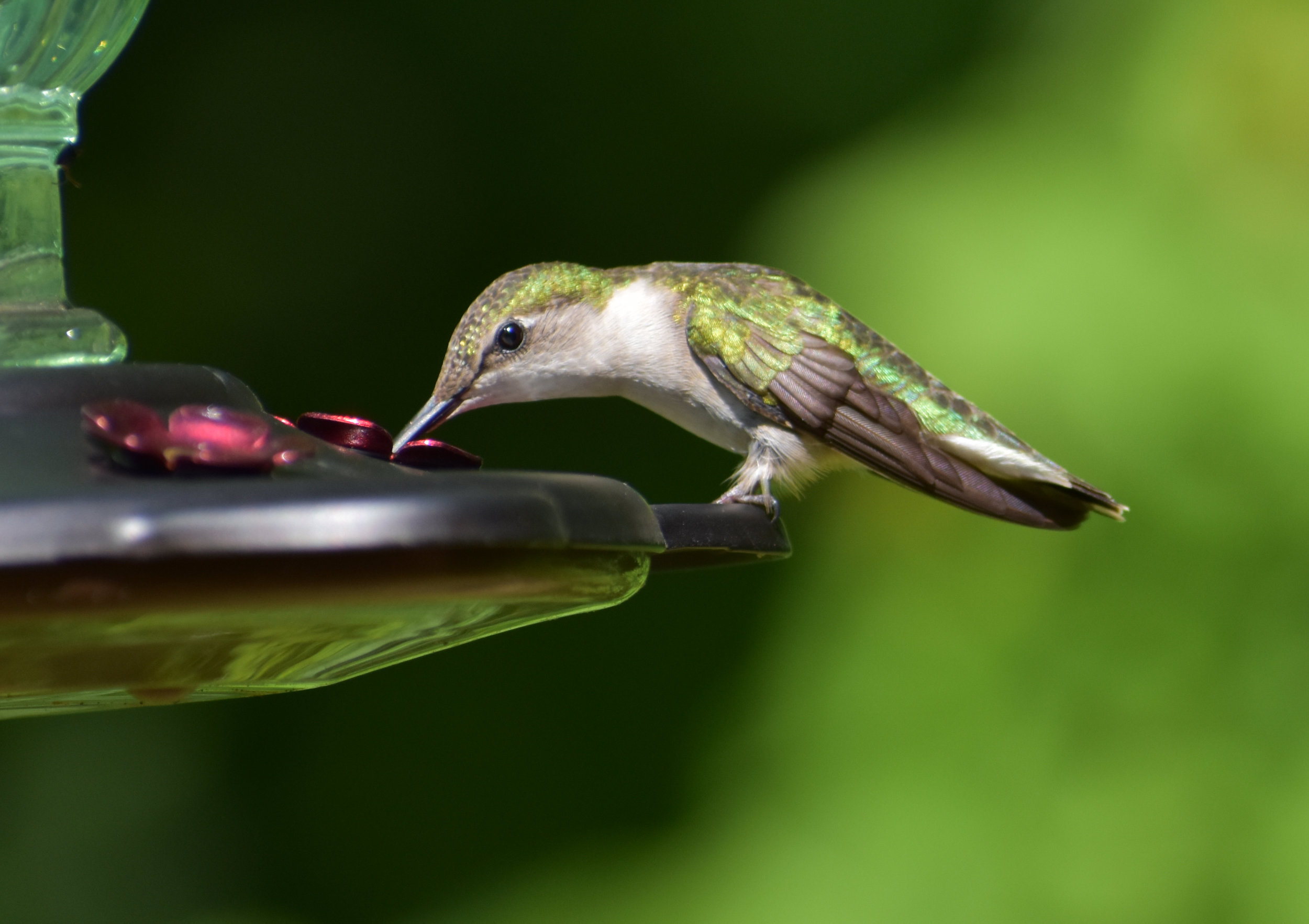 How to Attract Ruby-Throated Hummingbird