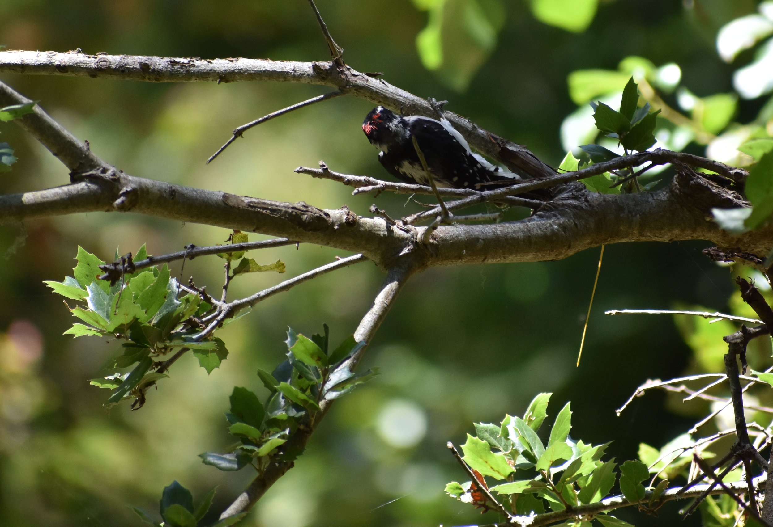 Downy Woodpecker on American Holly