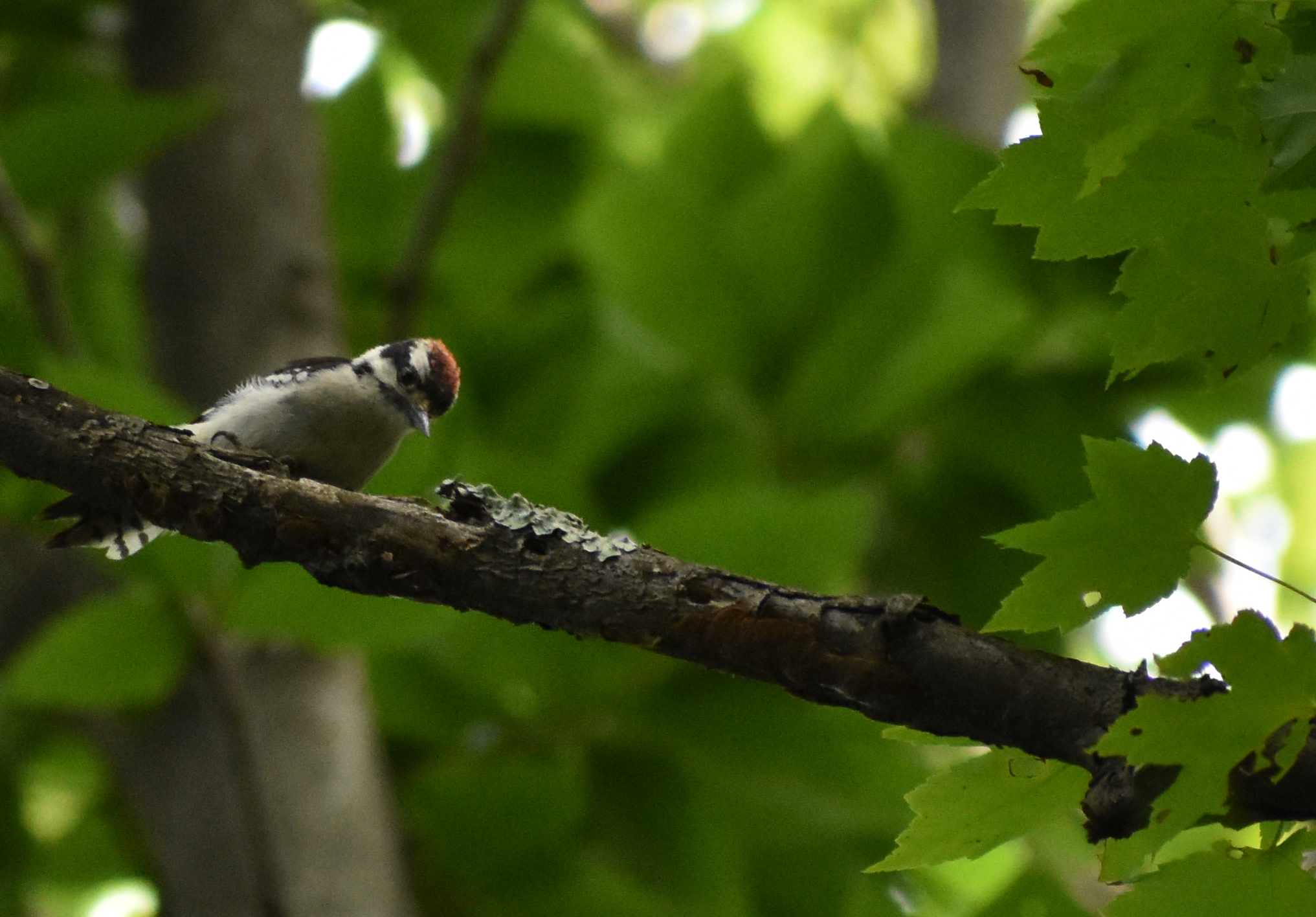 Downy Woodpecker on Red Maple