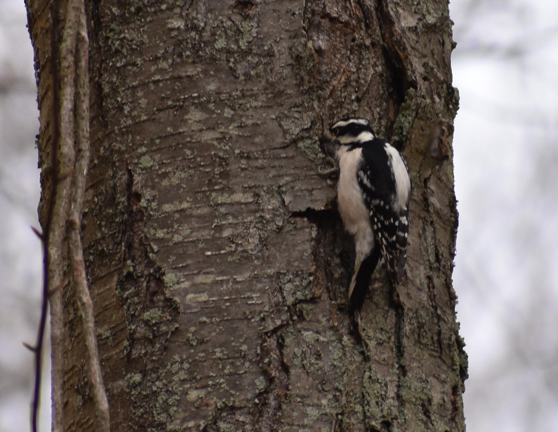 Downy Woodpecker on Sweet Birch