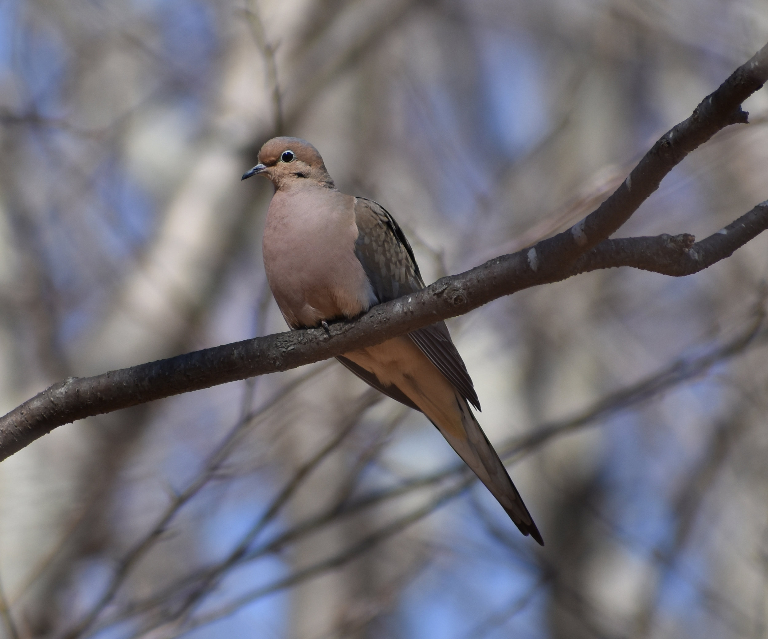 How to Attract Mourning Dove