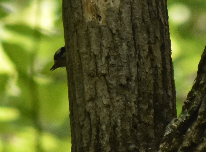 Downy Woodpecker nestling in cavity of Bigtooth Aspen