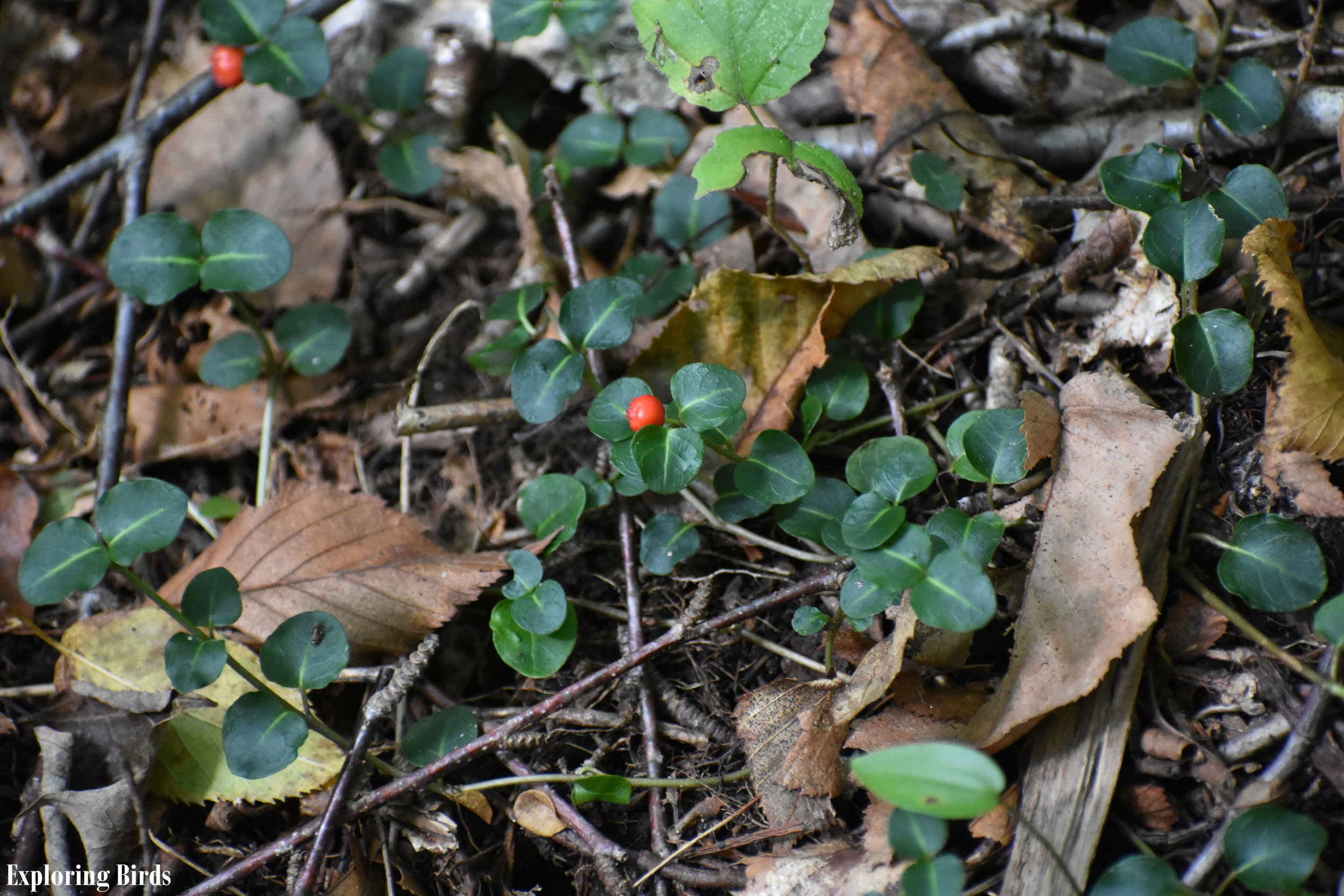 Attracting Birds with Partridge Berry
