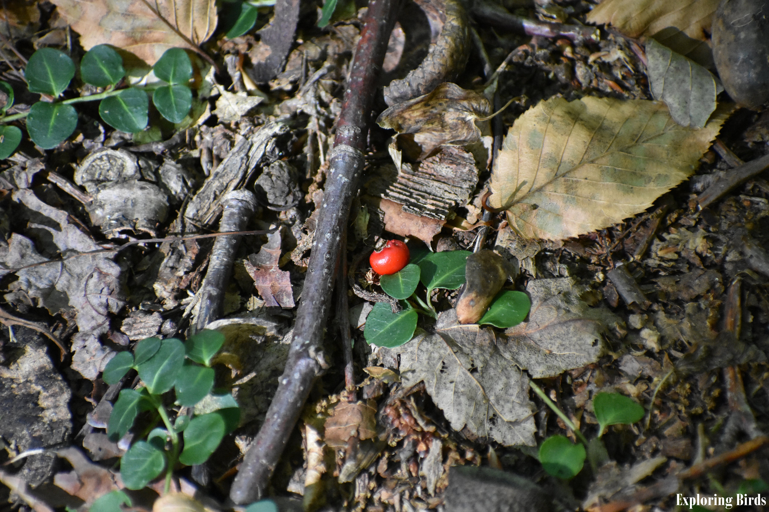Partridge Berry is a plant that attracts birds