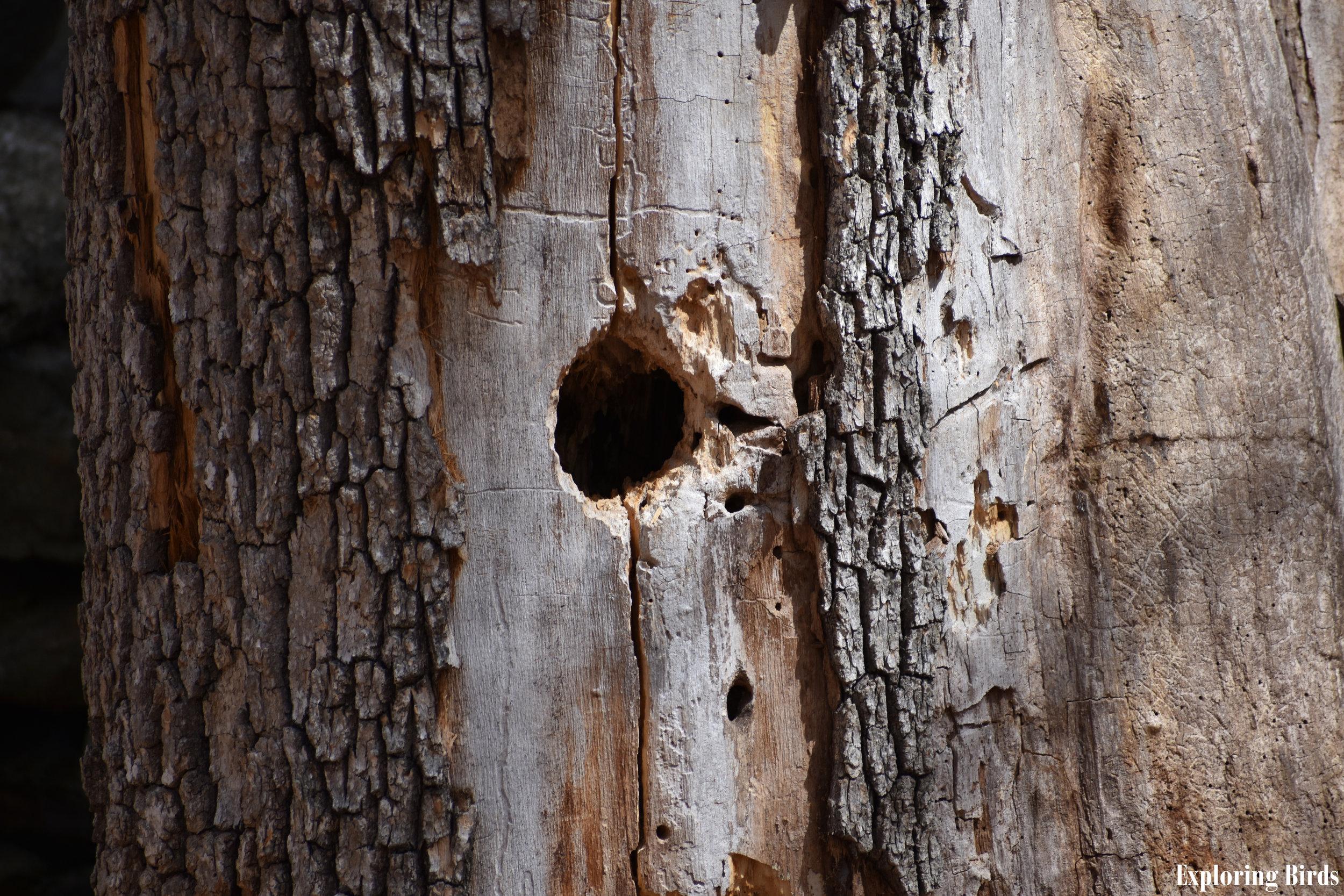 Woodpeckers nest in dead trees
