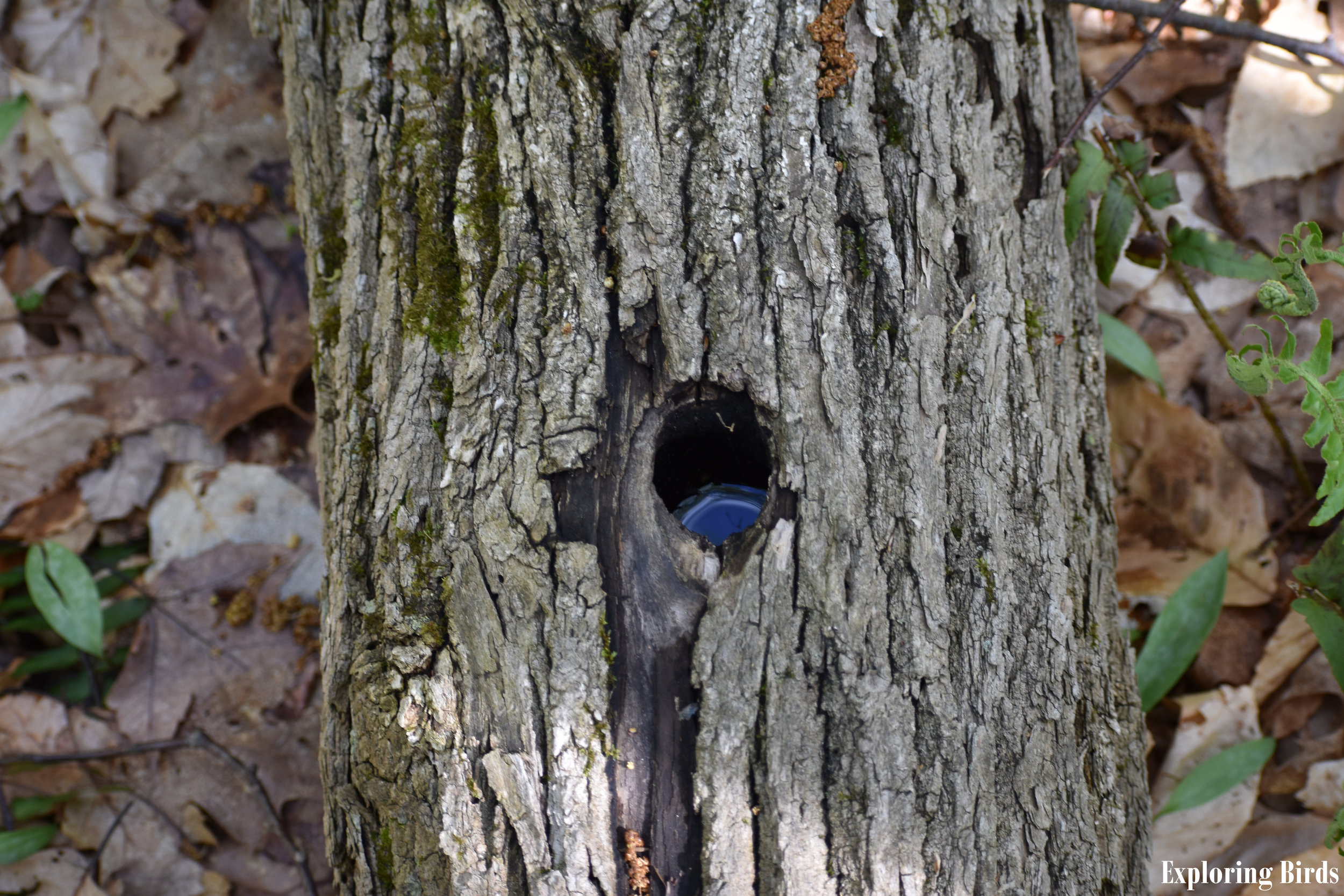Cavities in dead trees are used by birds for nesting