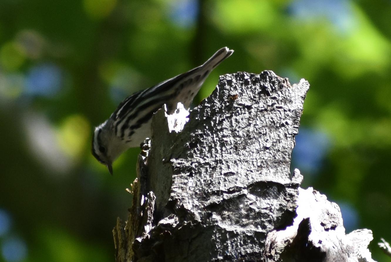 Black & White Warbler on Dead Tree