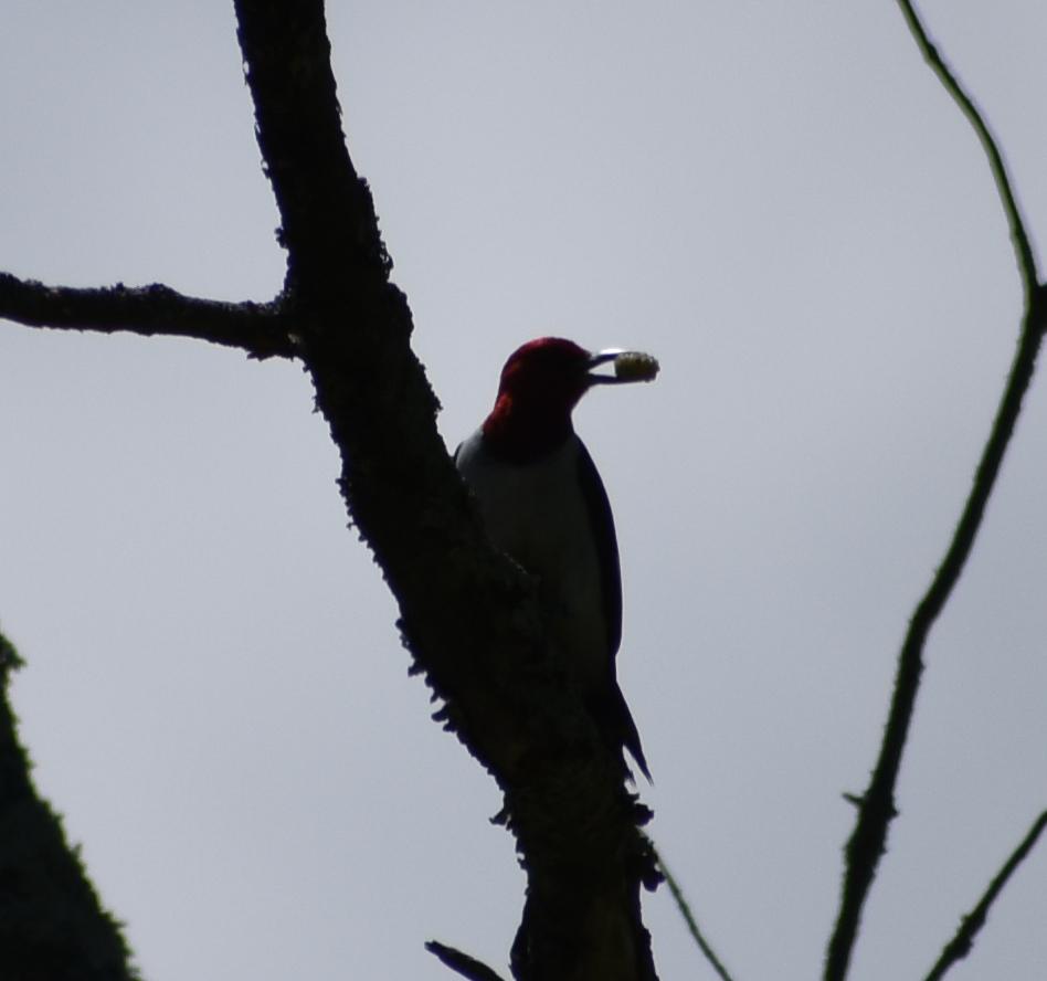 Red-Headed Woodpecker eating on Dead Tree