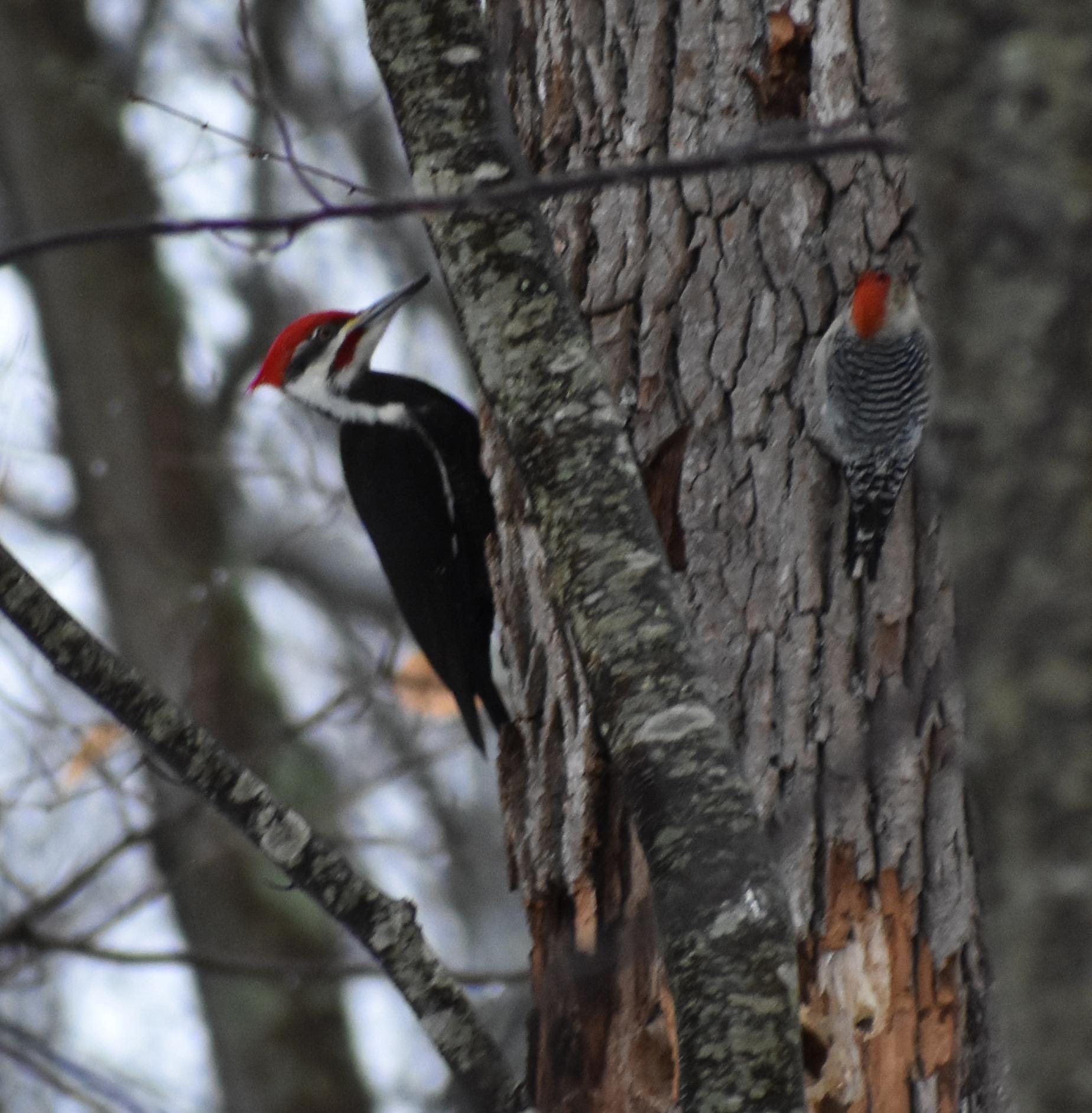 Pileated Woodpecker & Red-Bellied Woodpecker on Dead Tree