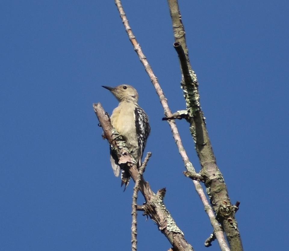 Red-Bellied Woodpecker on Dead Tree