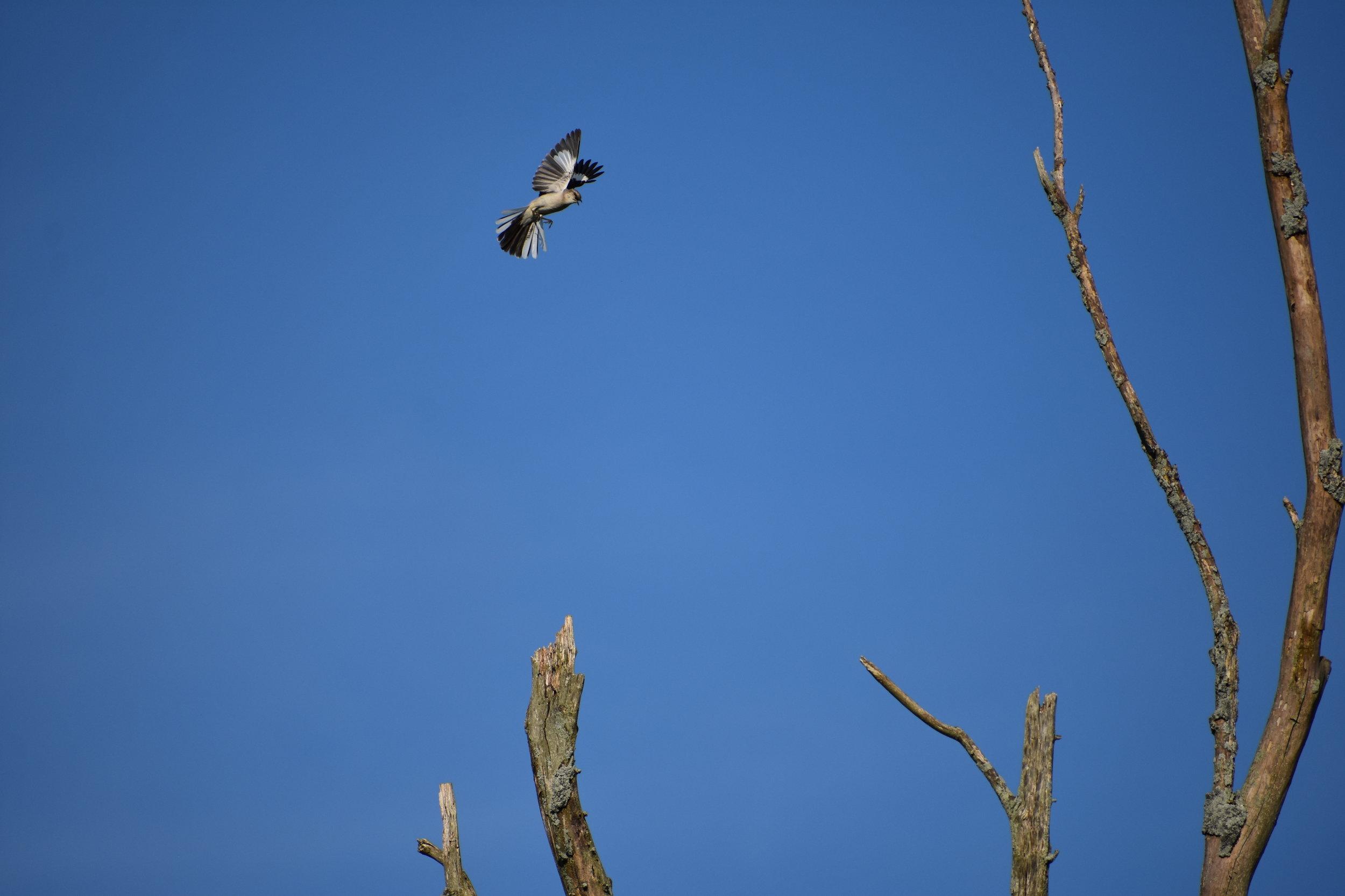 Northern Mockingbird flying to Dead Tree