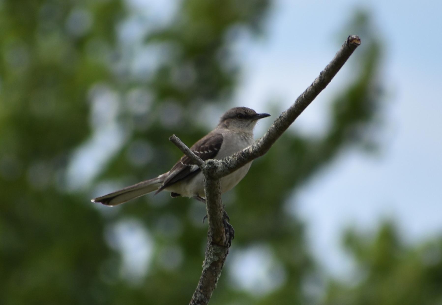 Northern Mockingbird on Snag