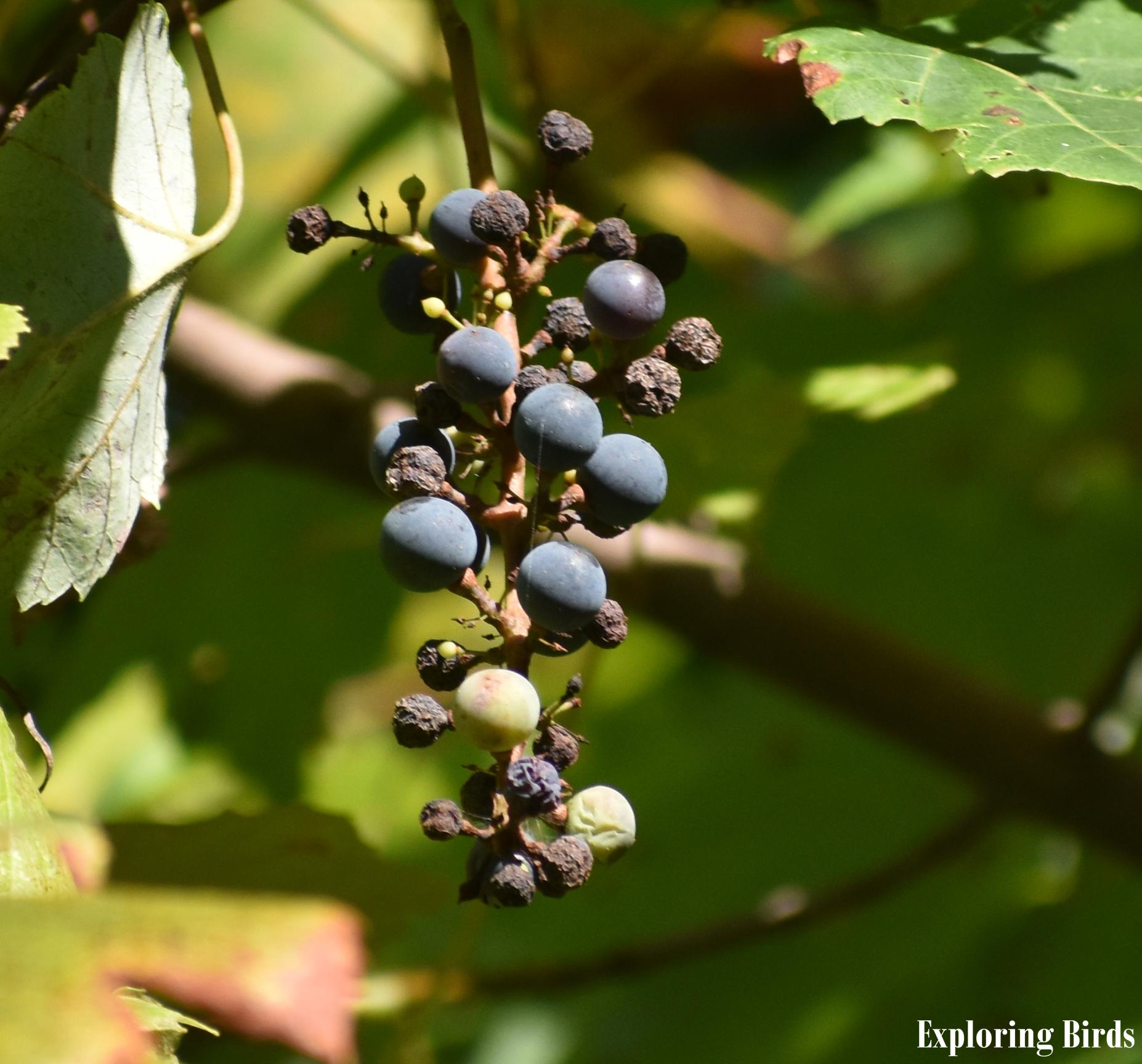 Wild Grape attracts birds