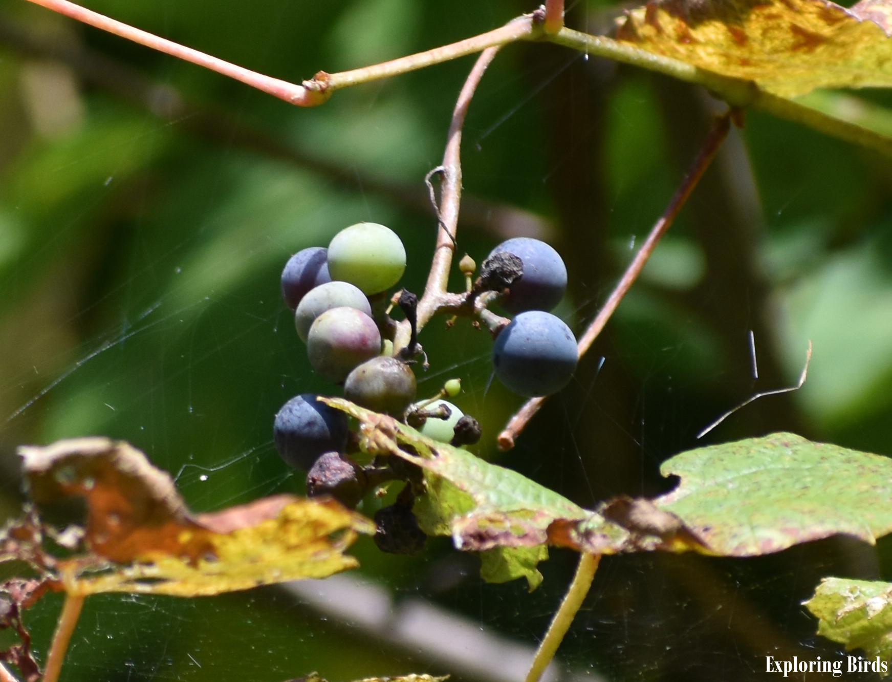 Fox Grape identification