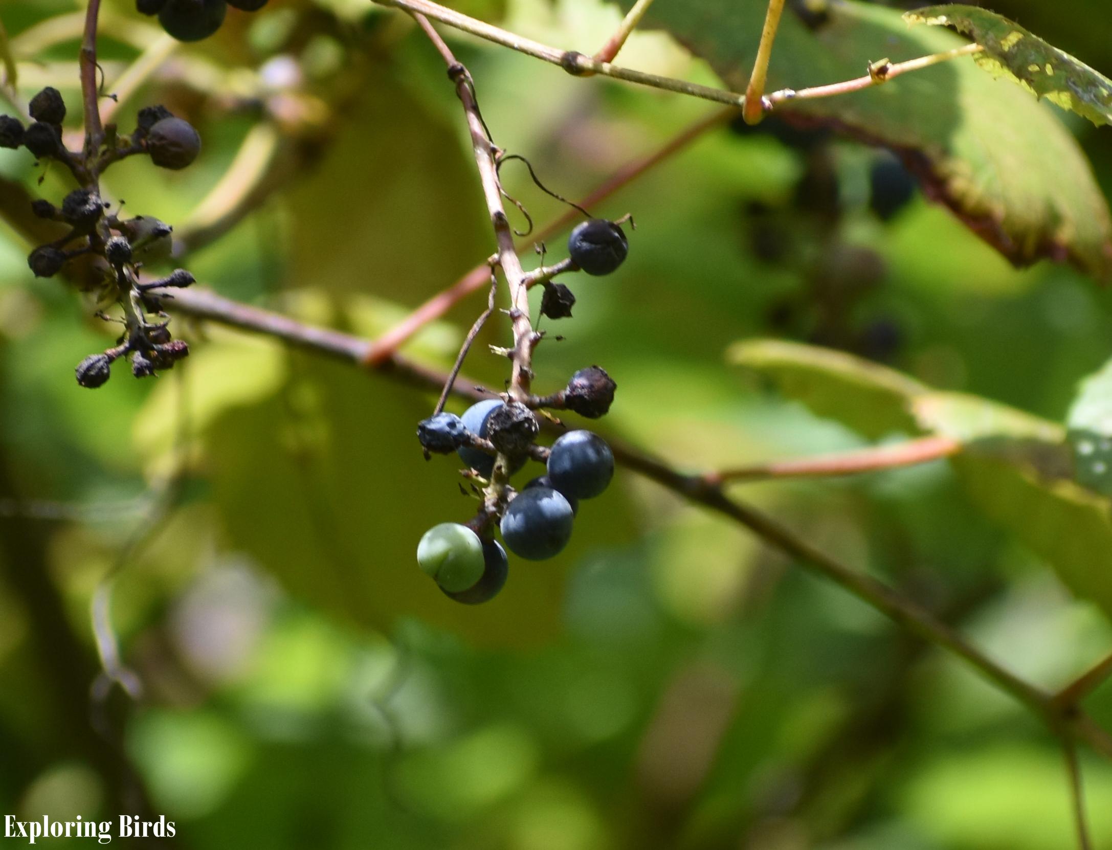 Wild Grape attracts Cedar Waxwing