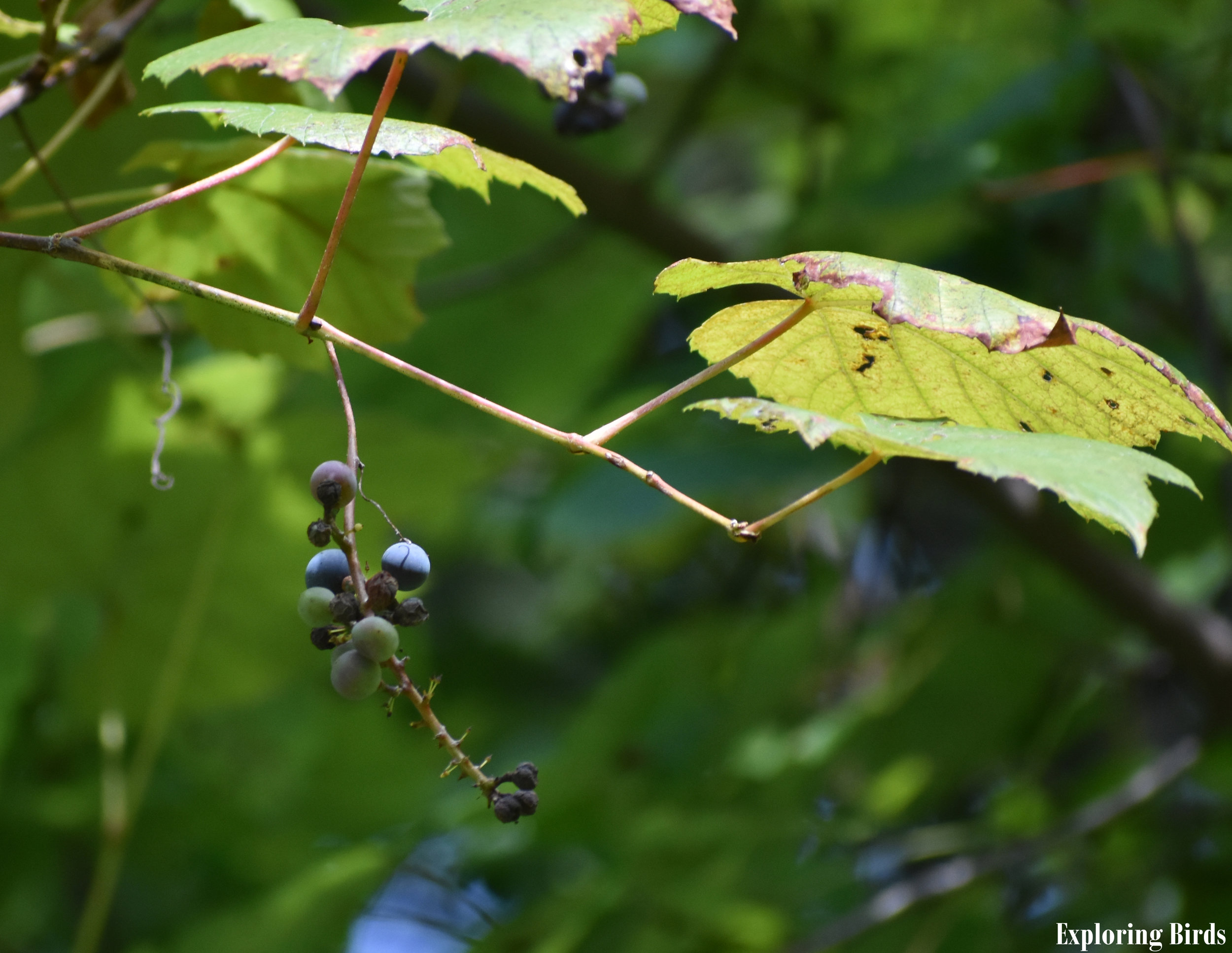 Wild Grape attracts Pileated Woodpecker