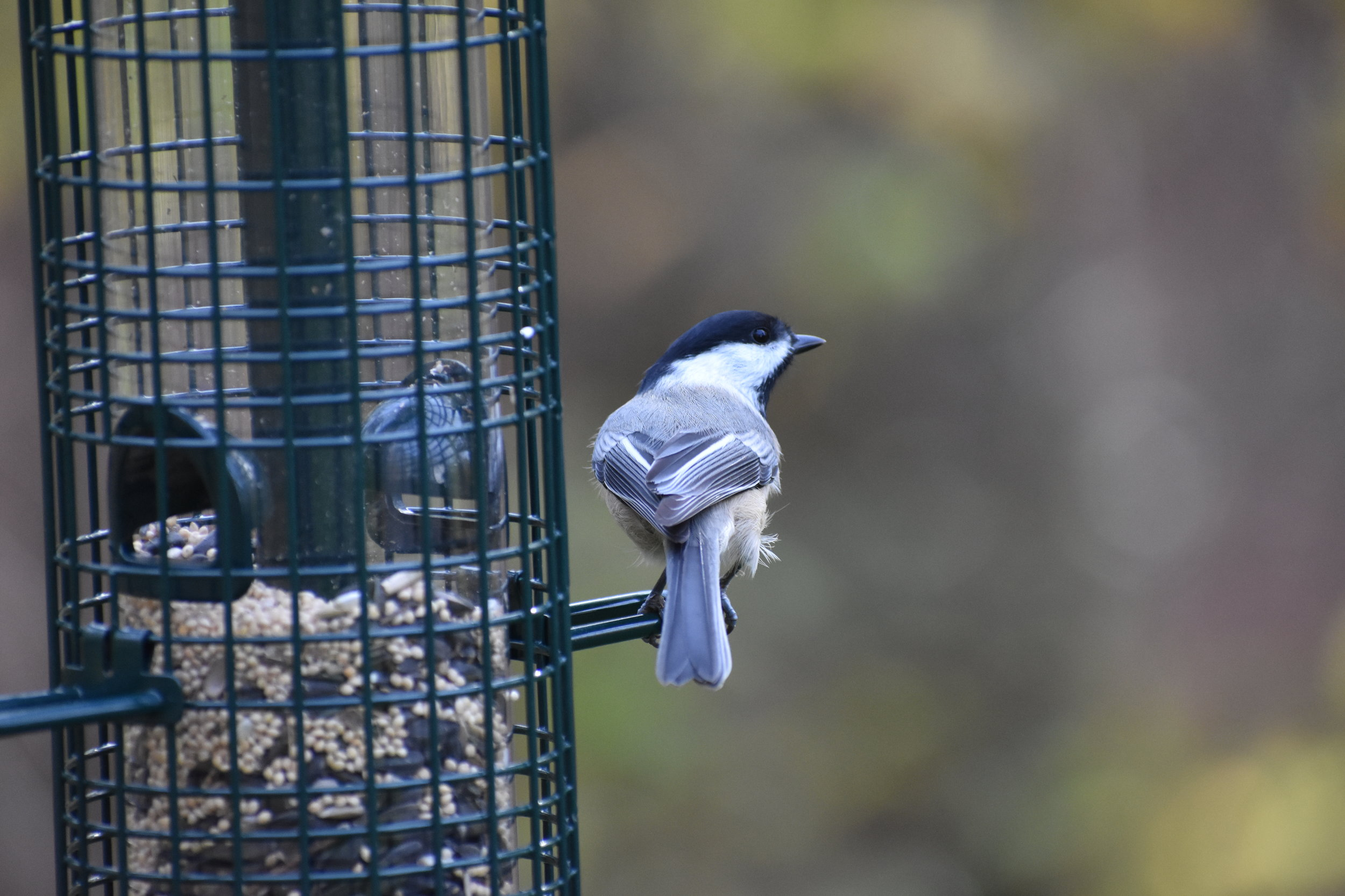 Black-Capped Chickadee & Hanging Tube Feeder