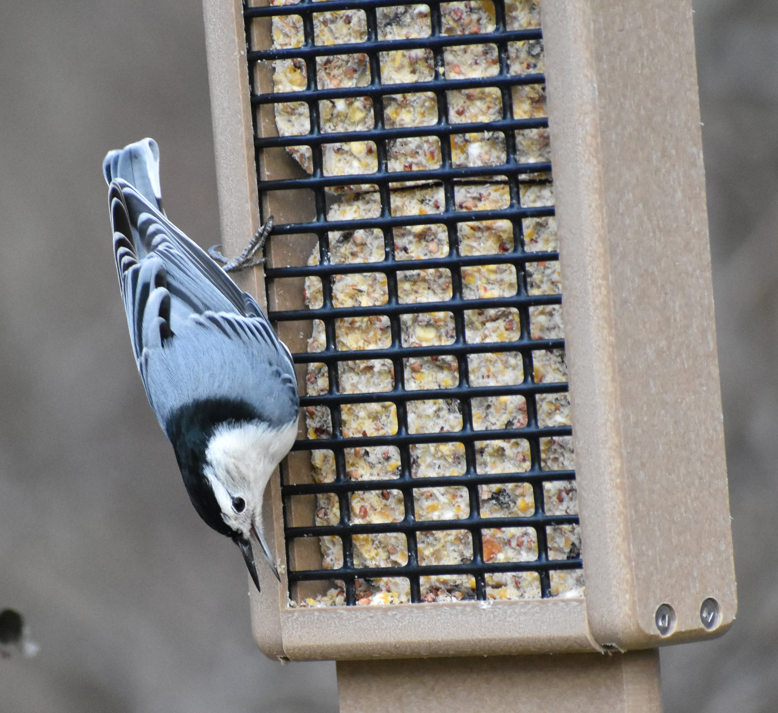 White-Breasted Nuthatch & Suet Feeder