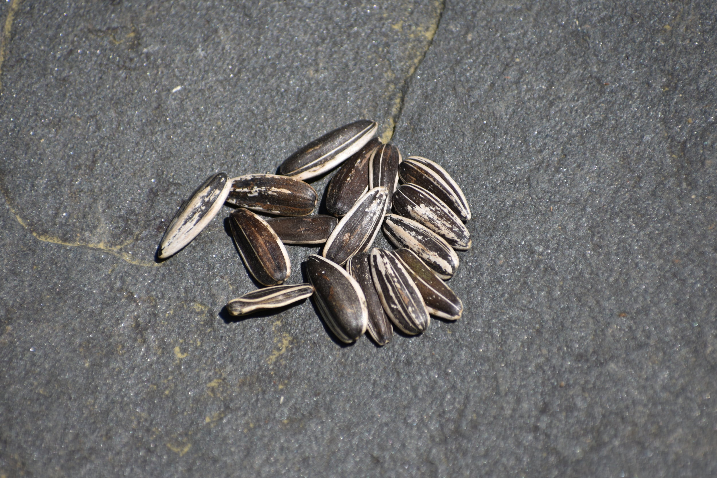 Striped Sunflower Seed