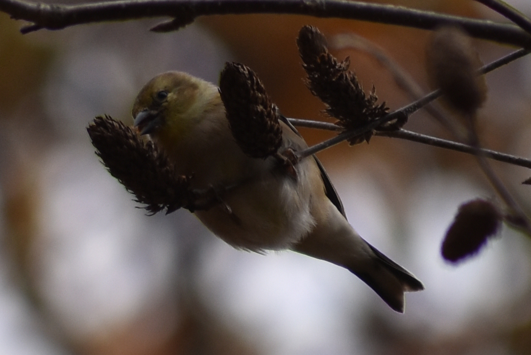 American Goldfinch eating Birch Seeds