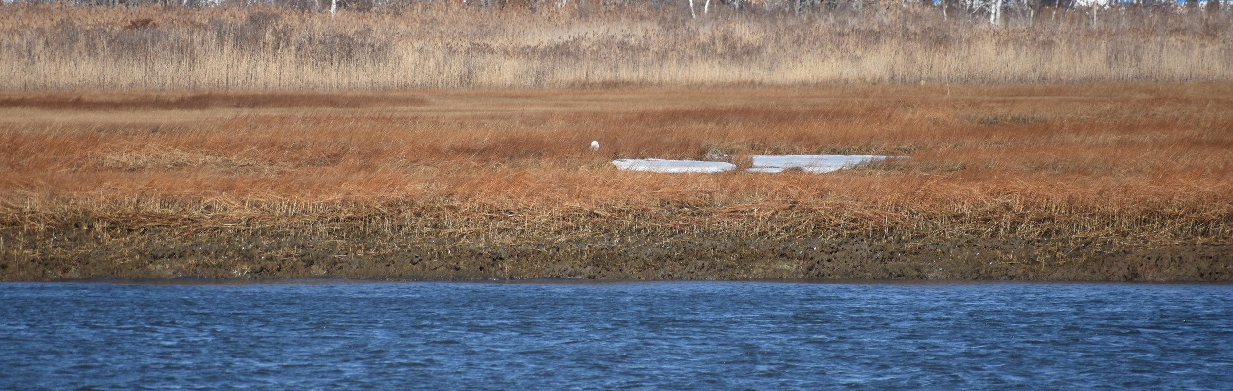 Snowy Owl is white spot in middle of photo, imagine how difficult it would be to spot if ground were covered in snow