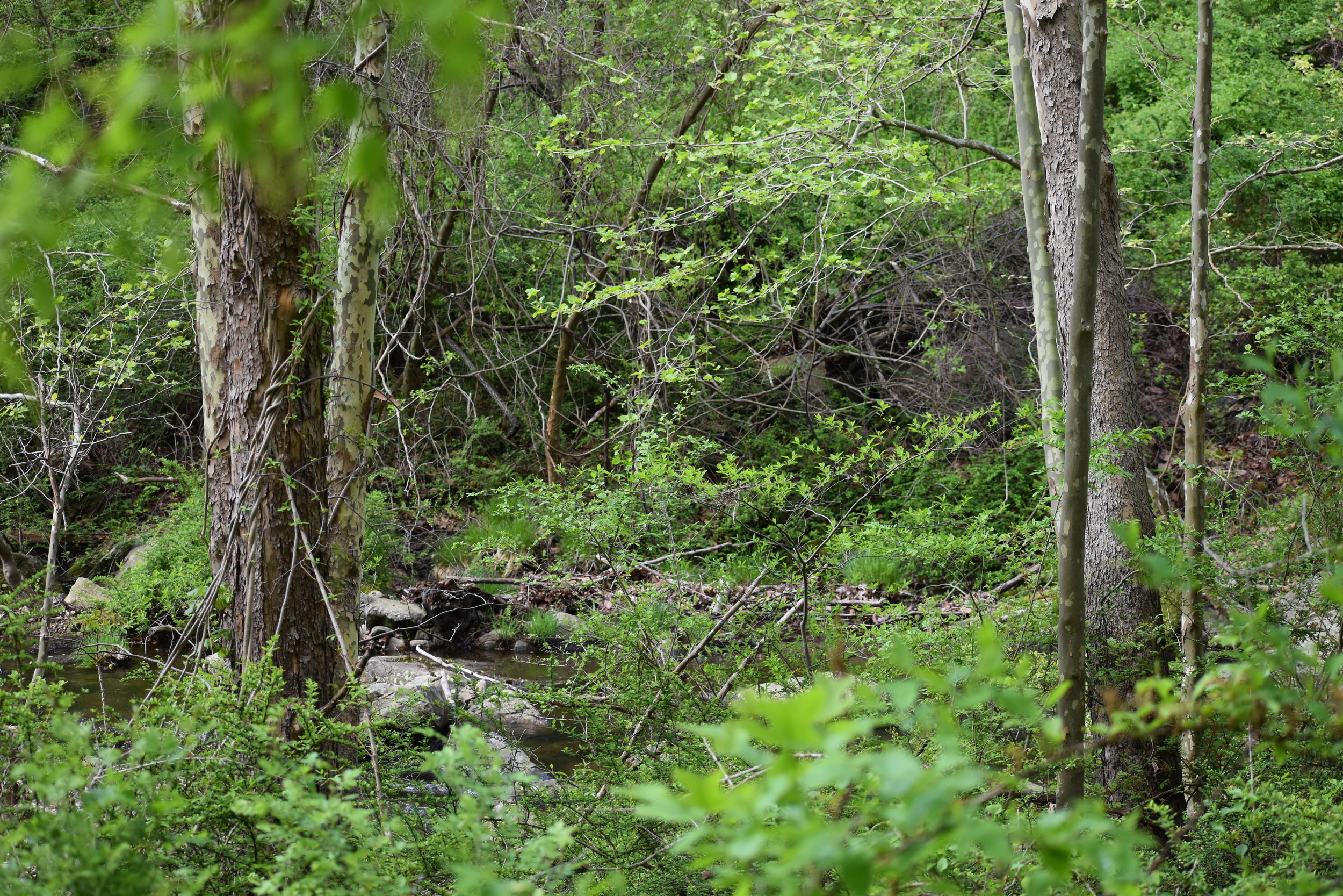 Hooded Warbler Habitat: note the thick understory and stream