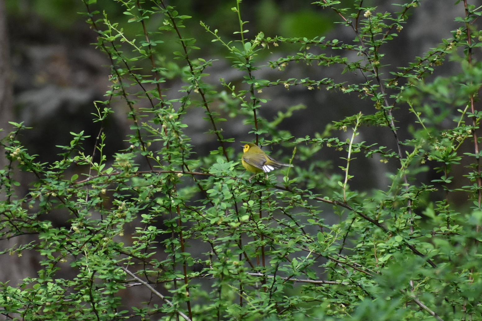 Hooded Warbler flashing white tail feathers on Barberry Plant