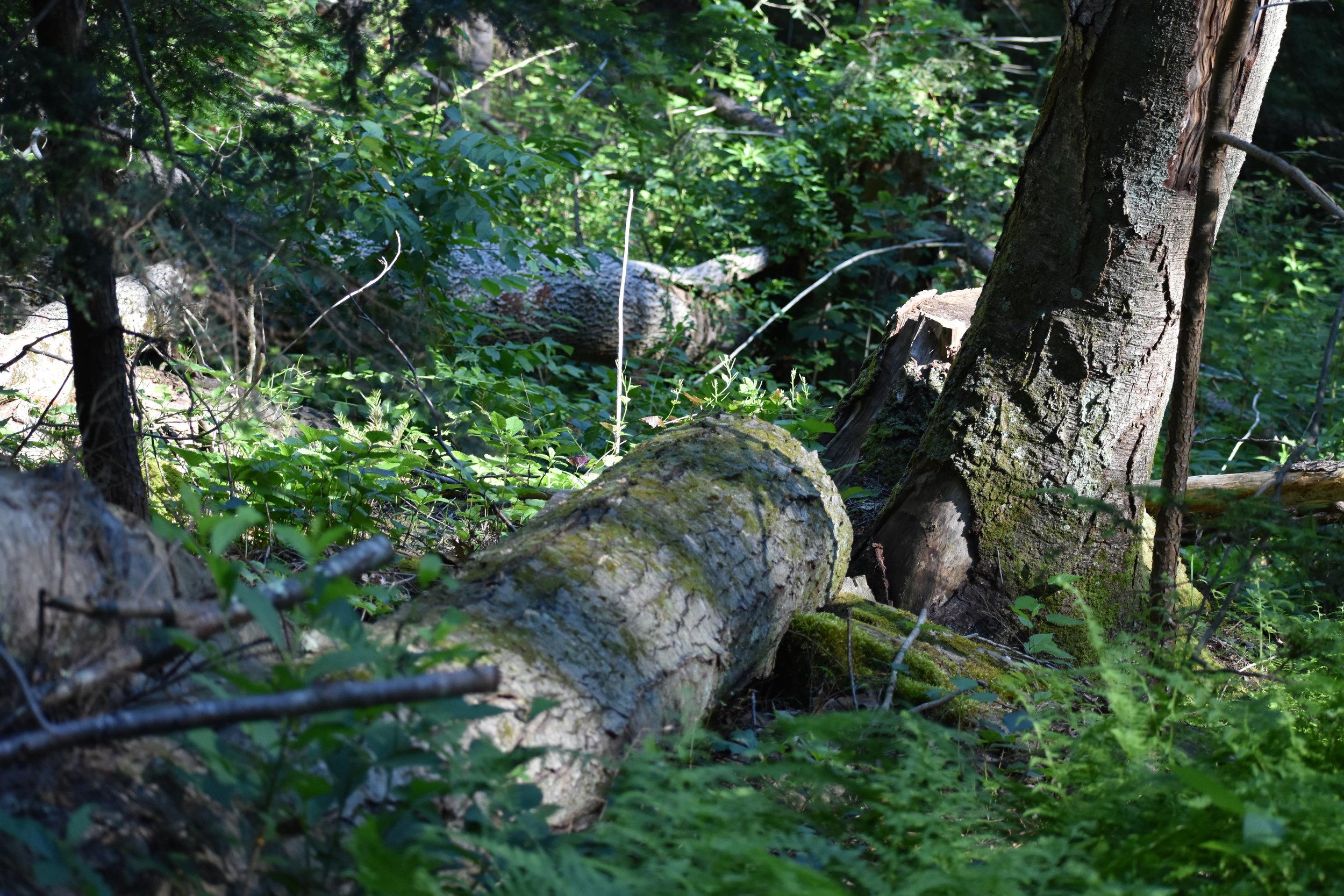 Hooded Warbler Habitat: tree fall gap - note dense shrubbery in background