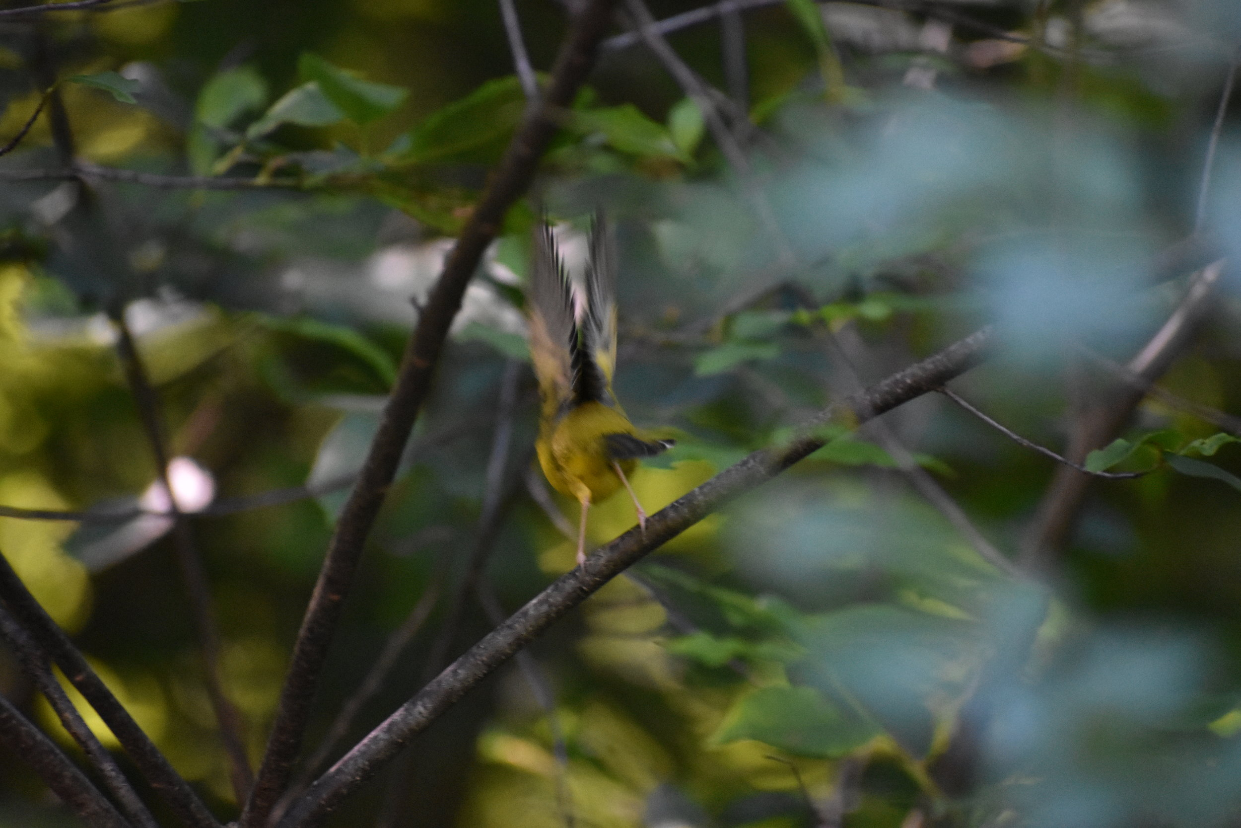 Hooded Warbler quickly move from understory location to understory location