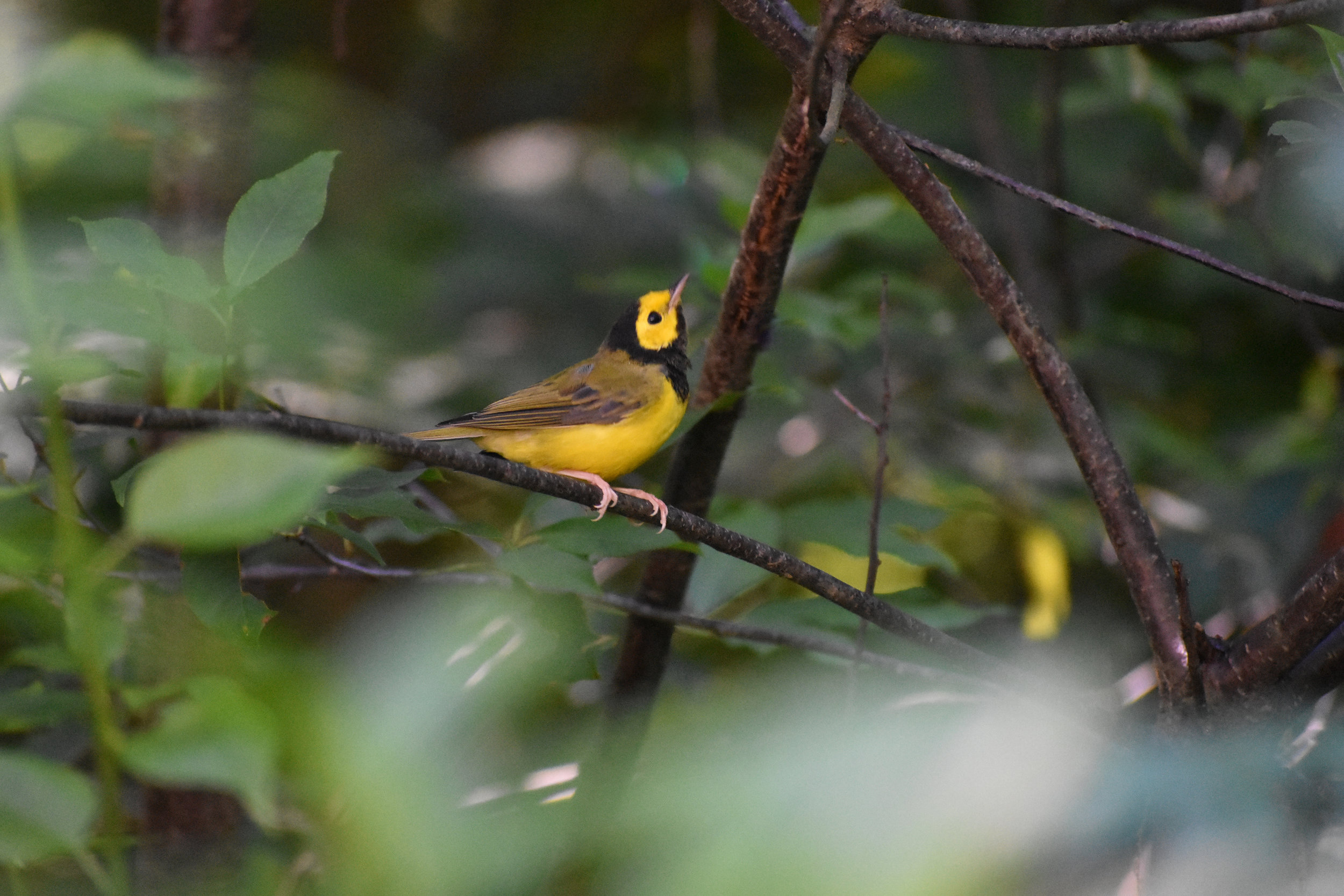 How to Find Hooded Warbler