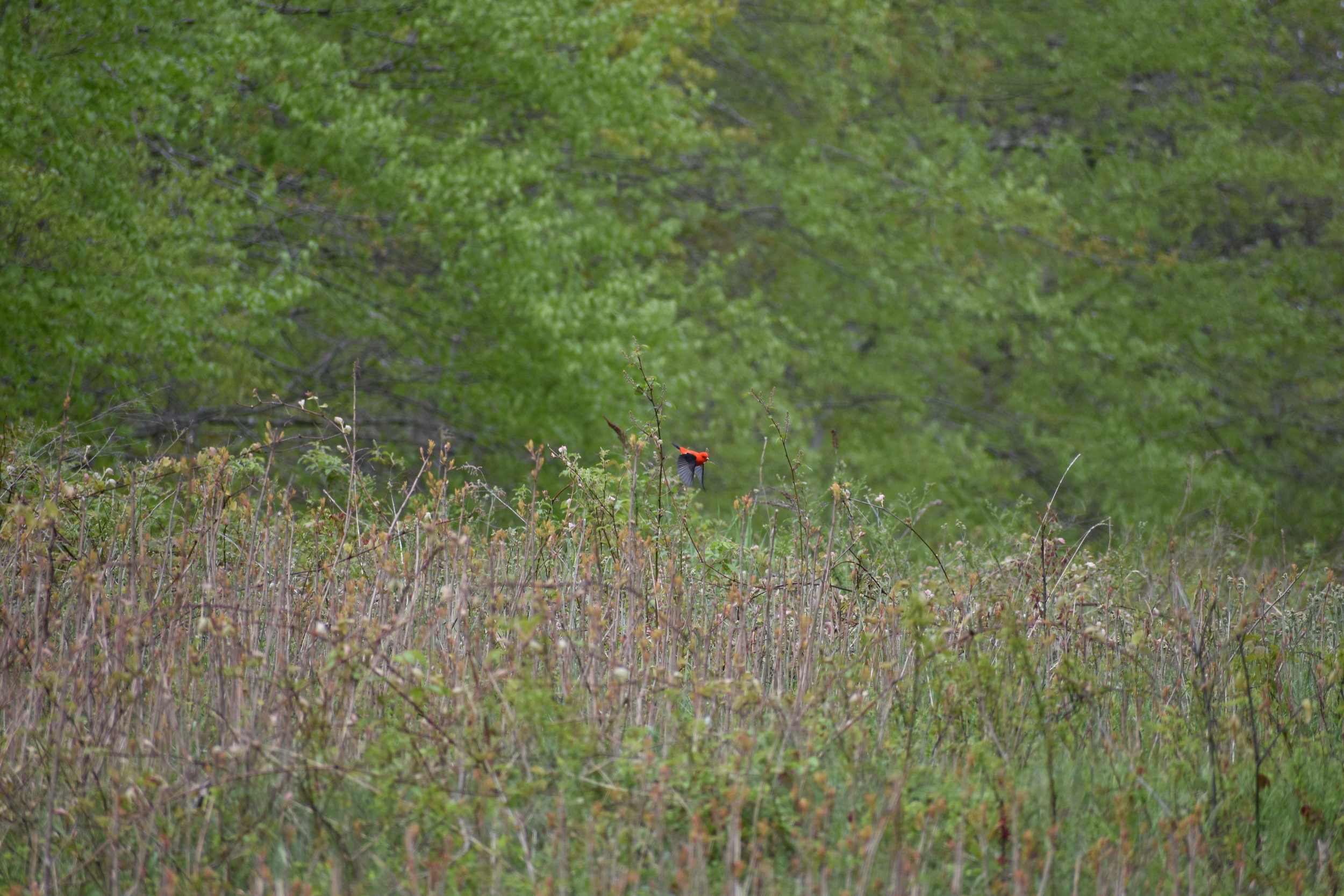 Scarlet Tanager in weedy field