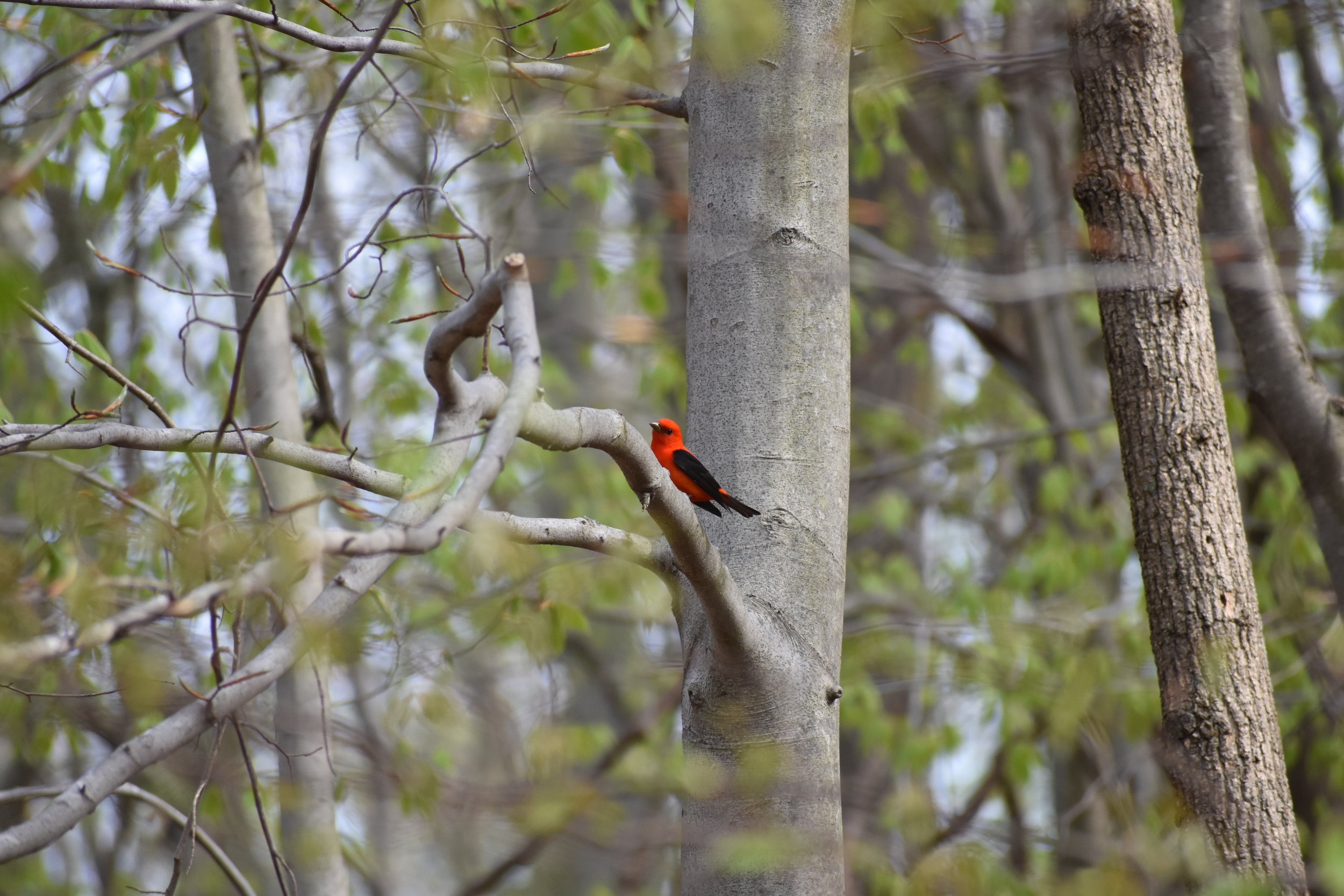 Scarlet Tanager in American Beech tree; one of their favored trees