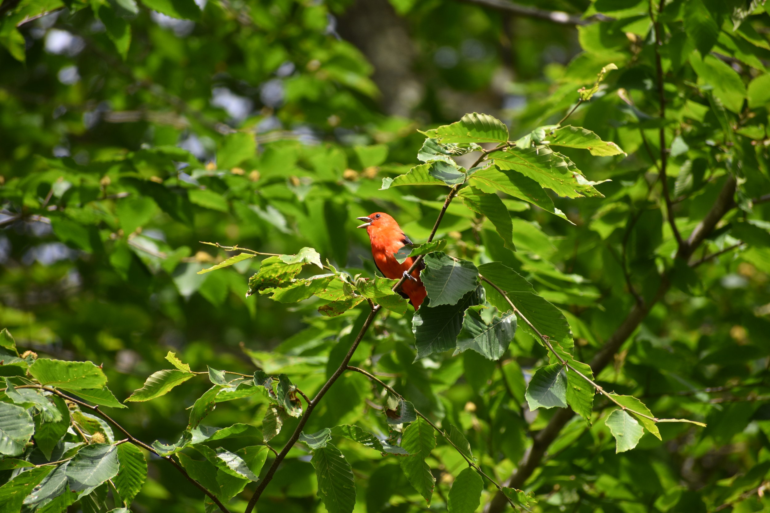 Scarlet Tanager singing in a Beech tree