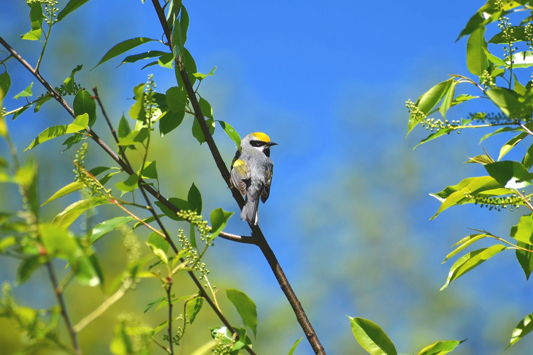 How to Find Golden Winged Warbler